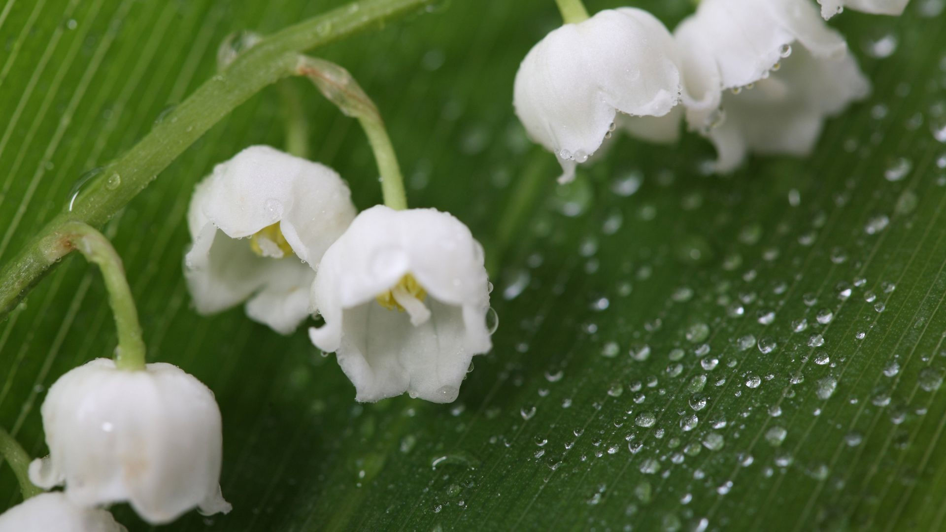 Lily Of The Valley HD Desktop Wallpaper
