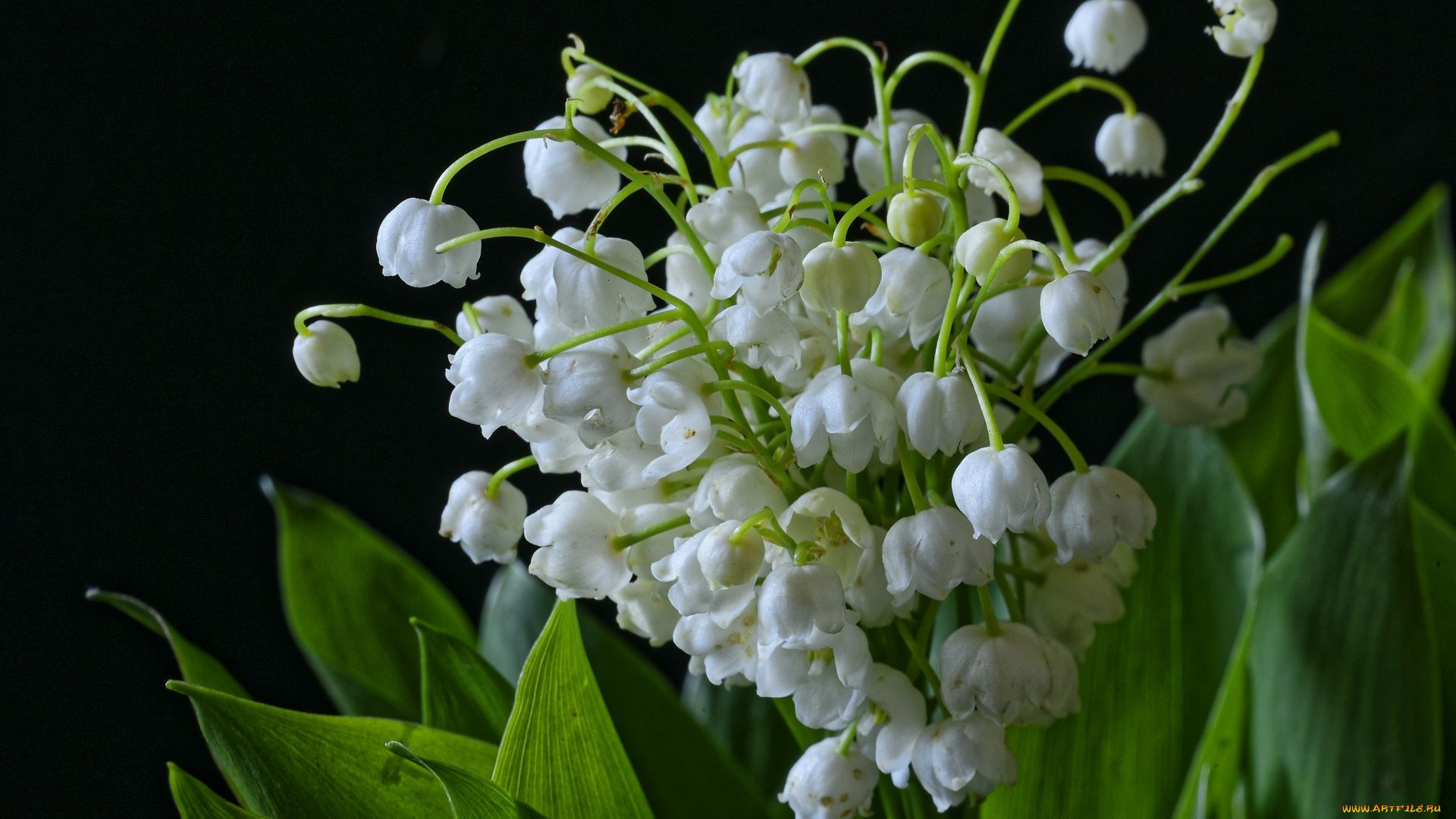 Lily Of The Valley hd wallpaper 1080