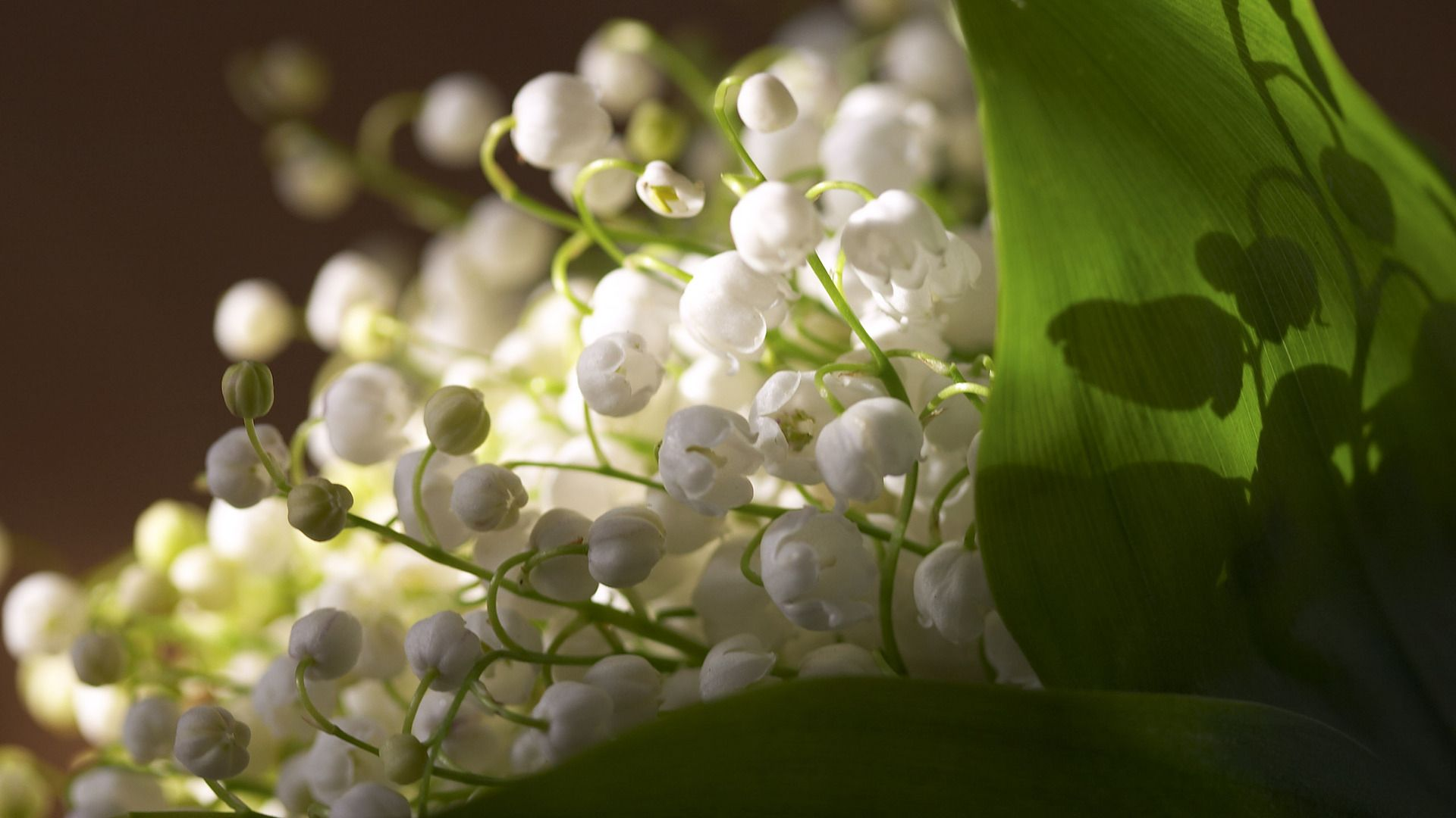 Lily Of The Valley full wallpaper