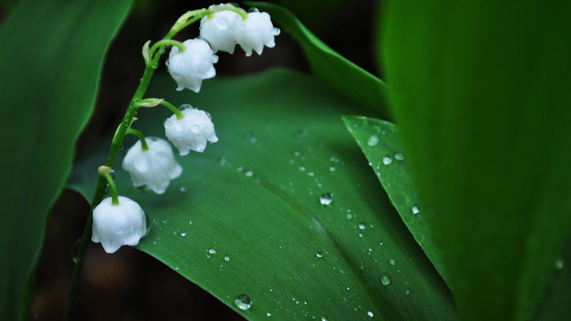 Lily Of The Valley laptop wallpaper