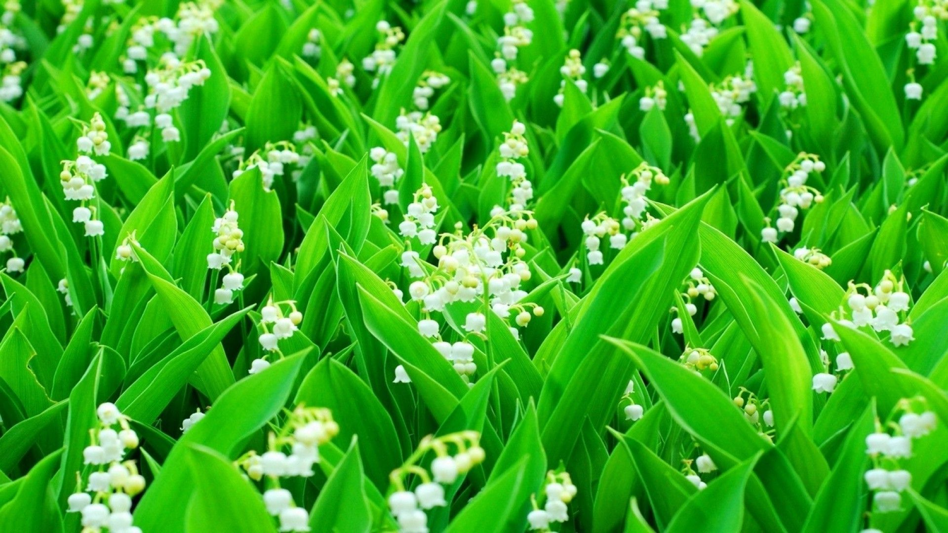 Lily Of The Valley PC Wallpaper HD