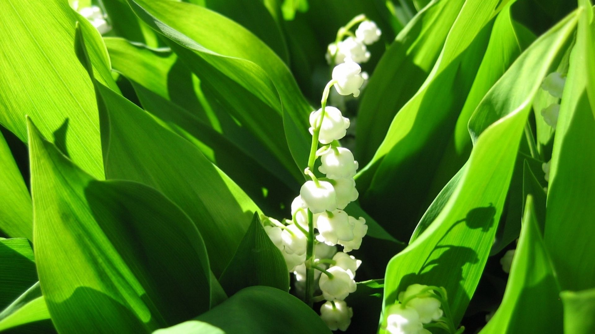 Lily Of The Valley High Quality