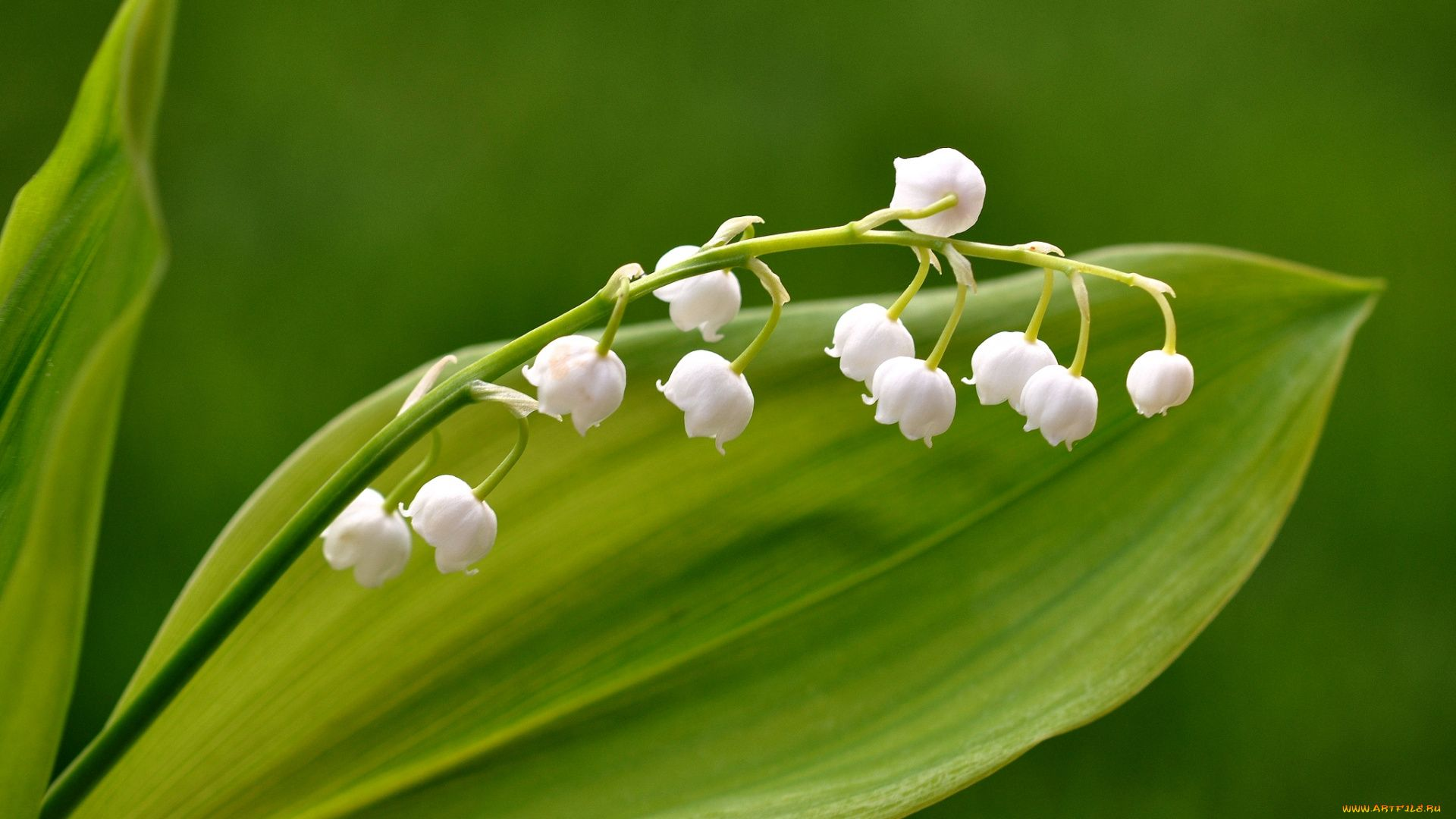 Lily Of The Valley download wallpaper image