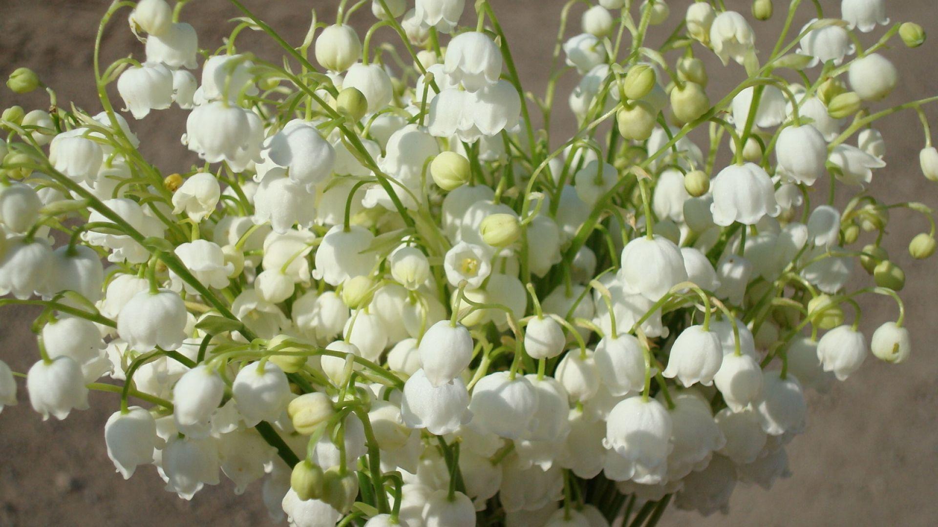 Muguet Flower Nice Wallpaper