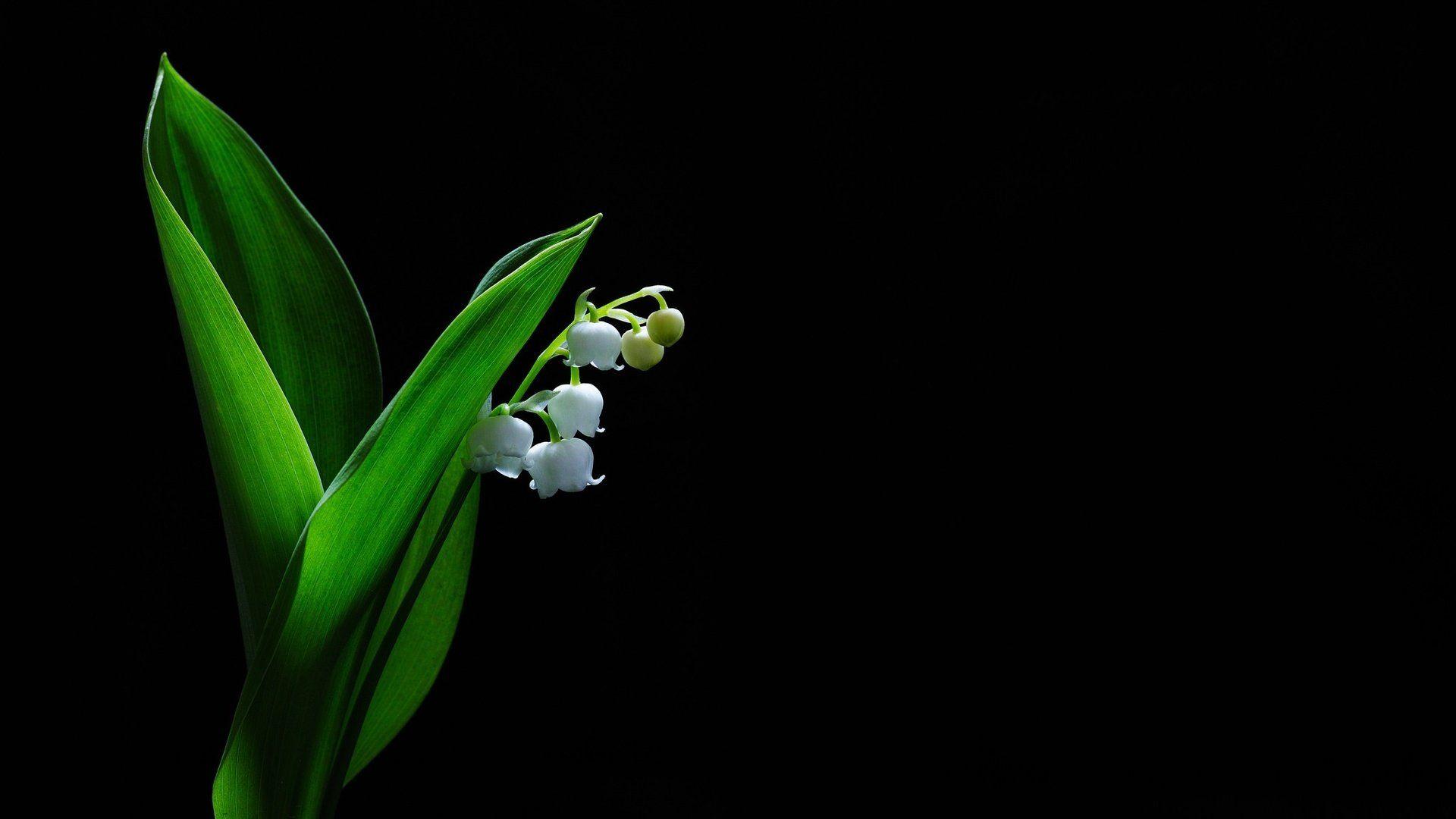 Muguet Flower Download Wallpaper
