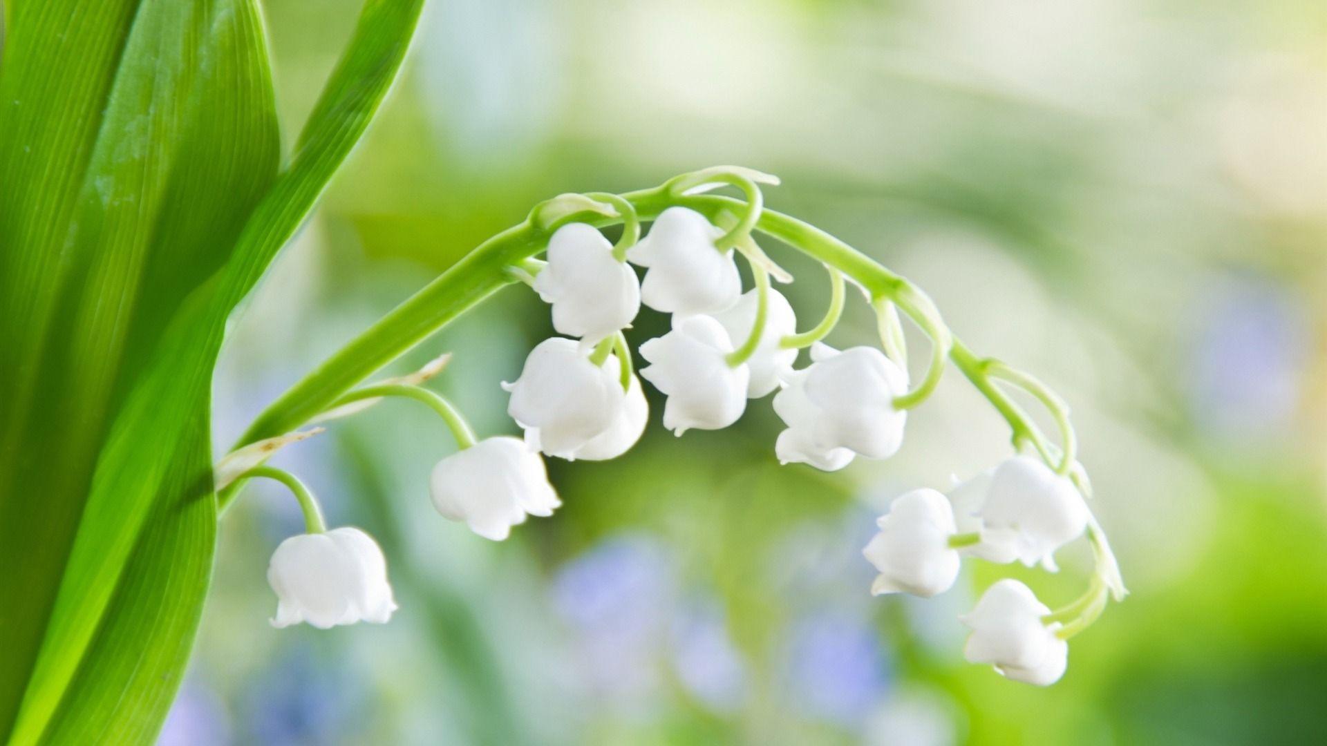 Muguet Flower best Wallpaper