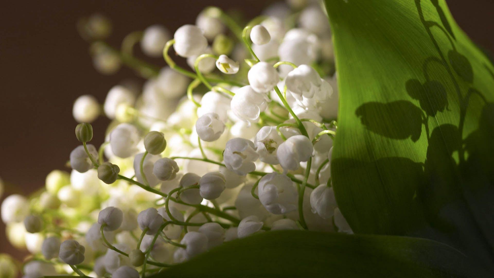 Muguet Flower free download wallpaper