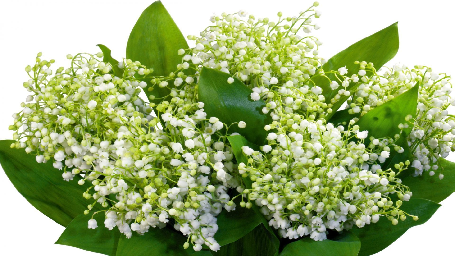 Muguet Flower High Definition