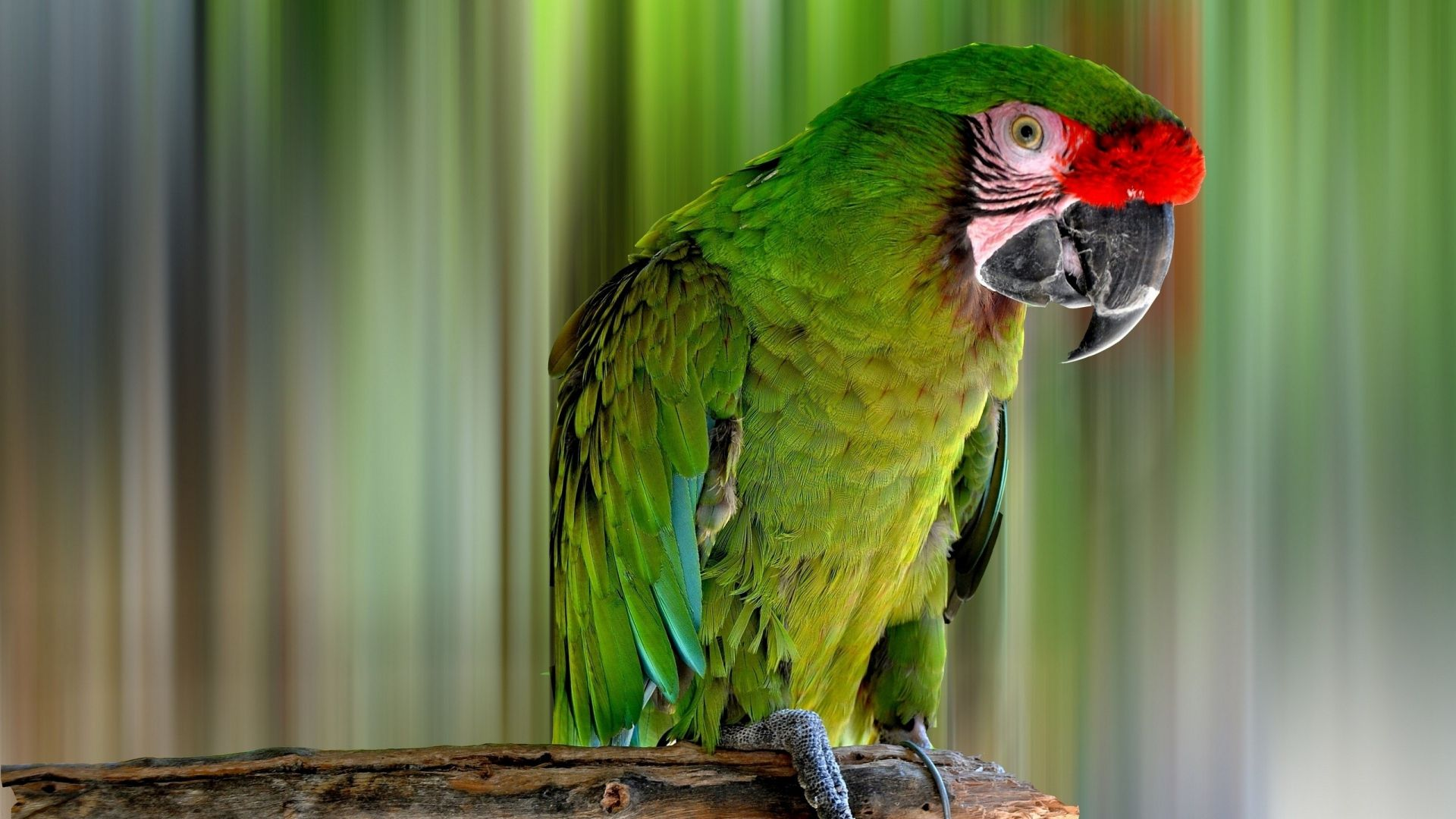 Parakeet wallpaper photo
