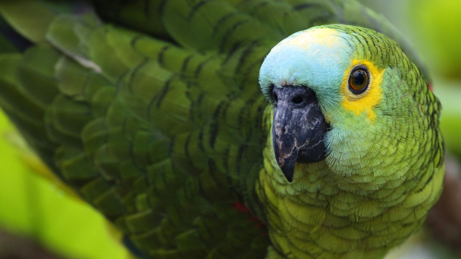 Parakeet Cool HD Wallpaper