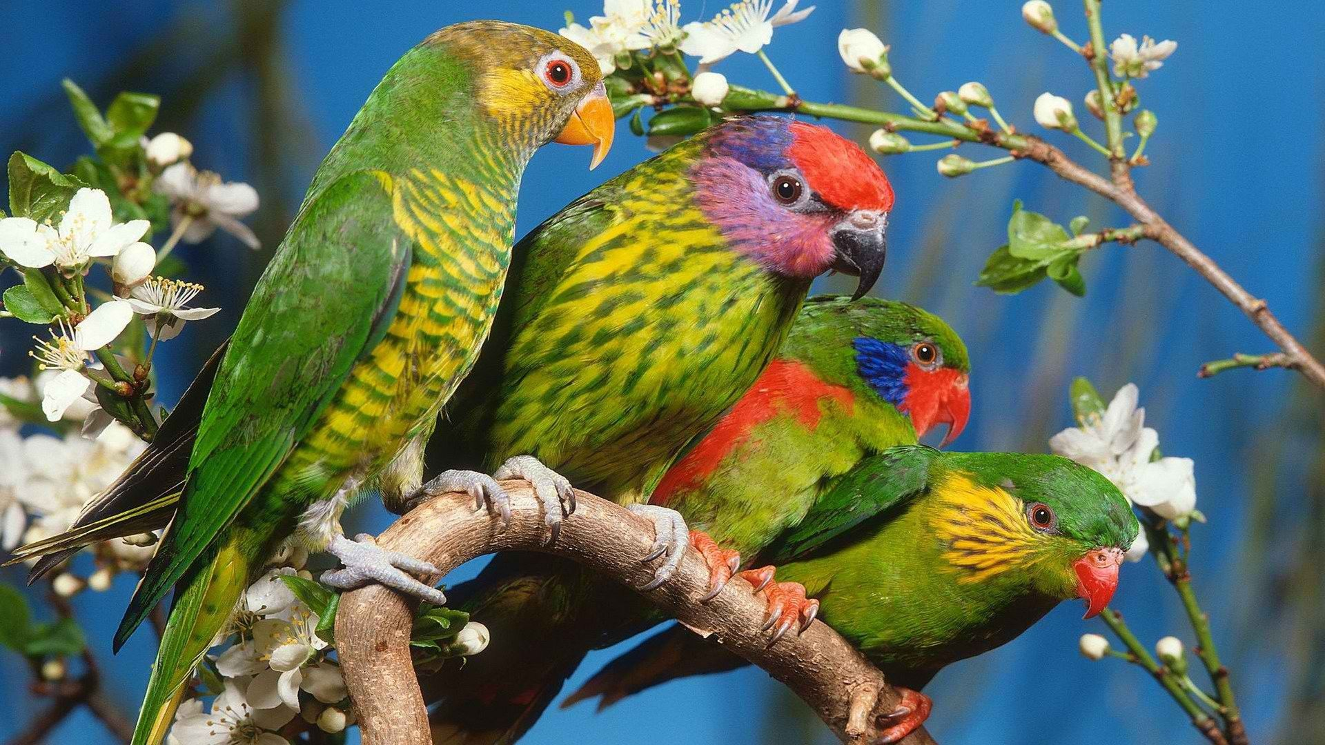 Parakeet free hd wallpaper