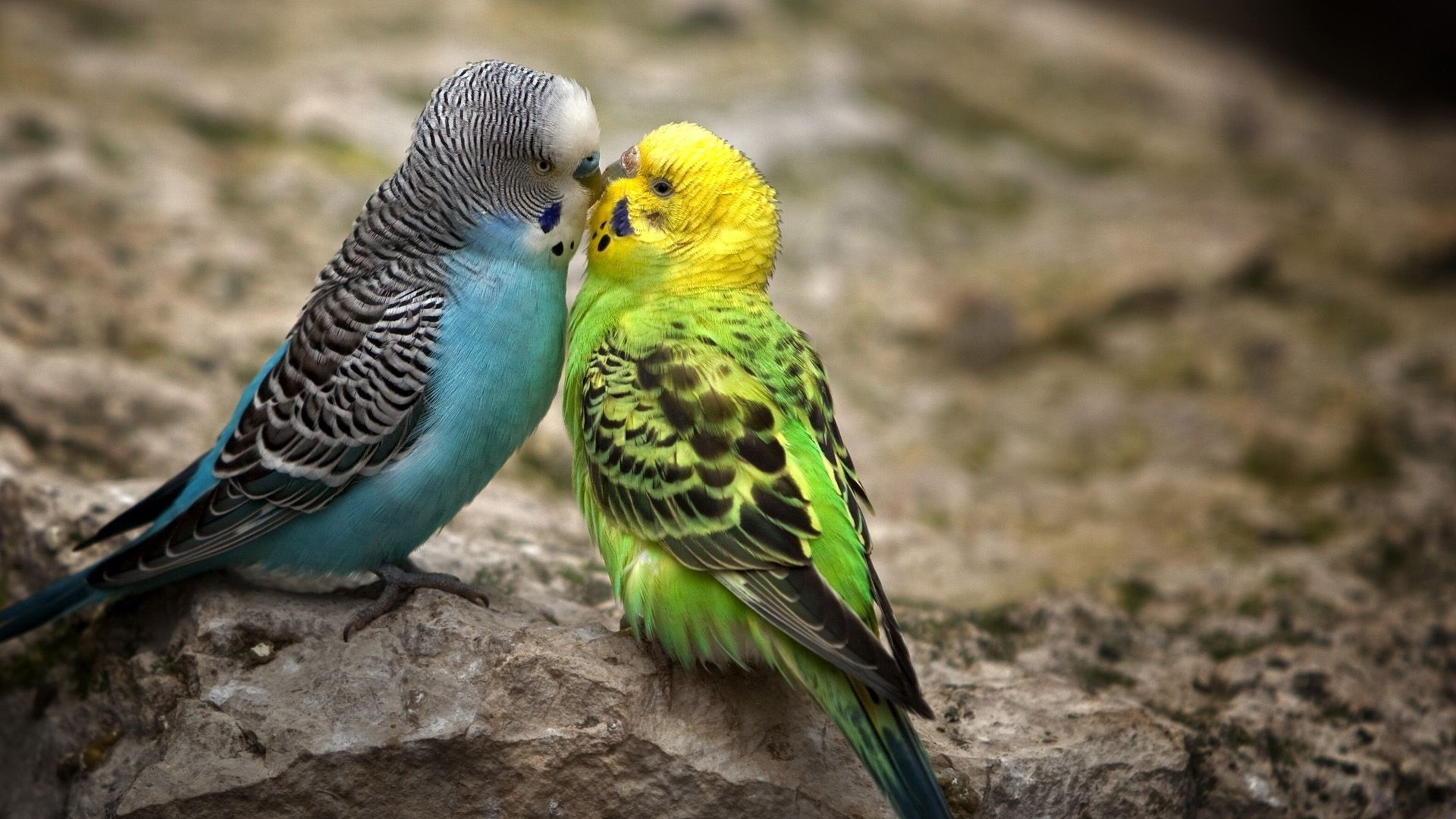 Parakeet hd wallpaper download