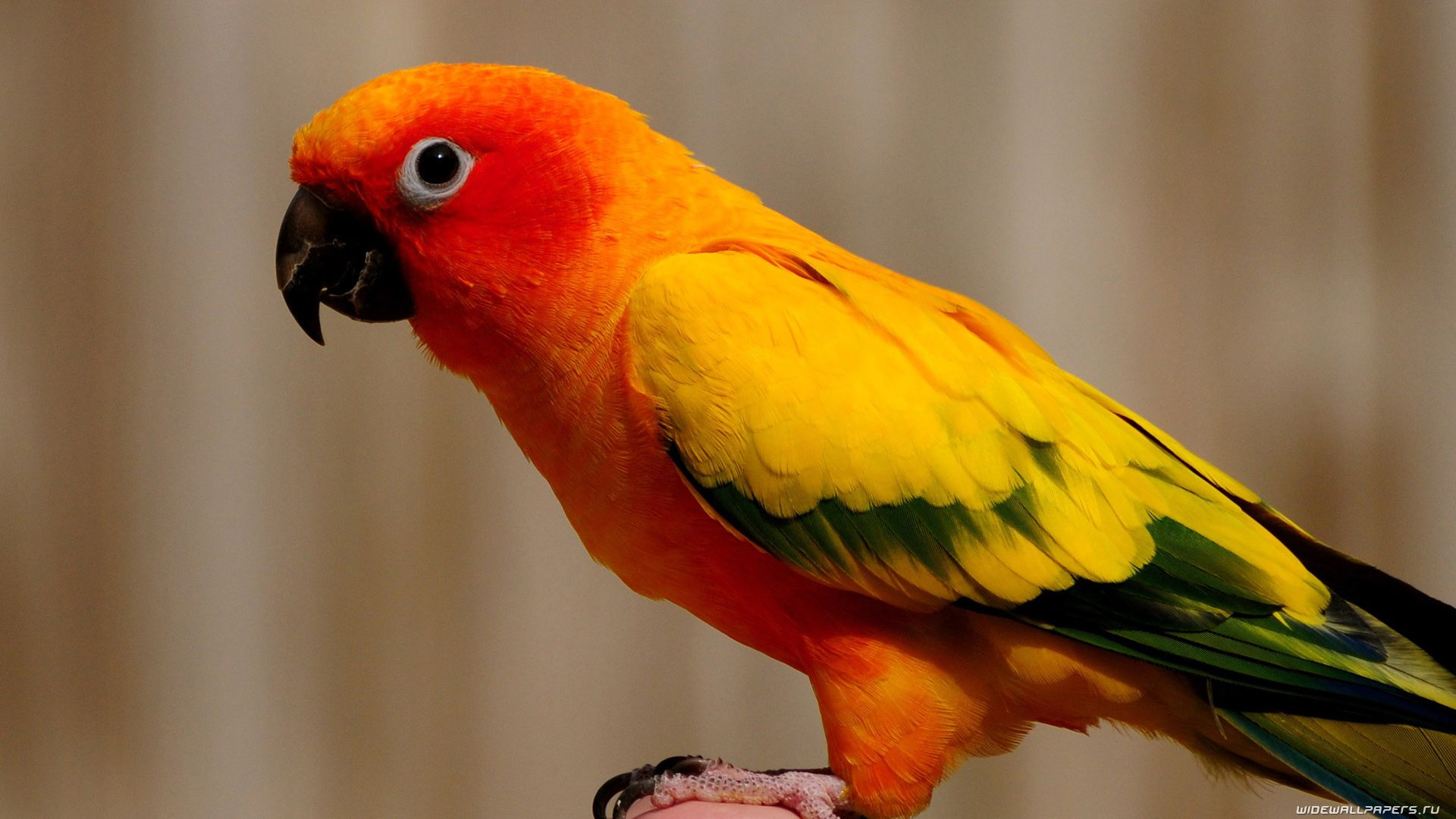 Parakeet hd wallpaper 1080