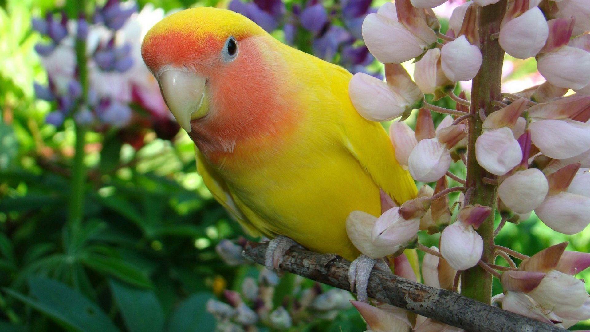 Parakeet Image