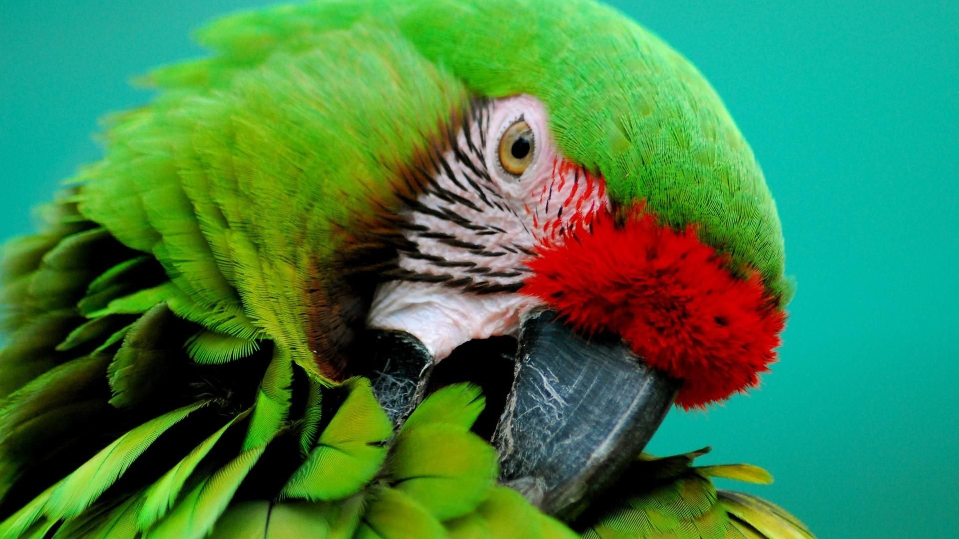 Parakeet wallpaper photo full hd