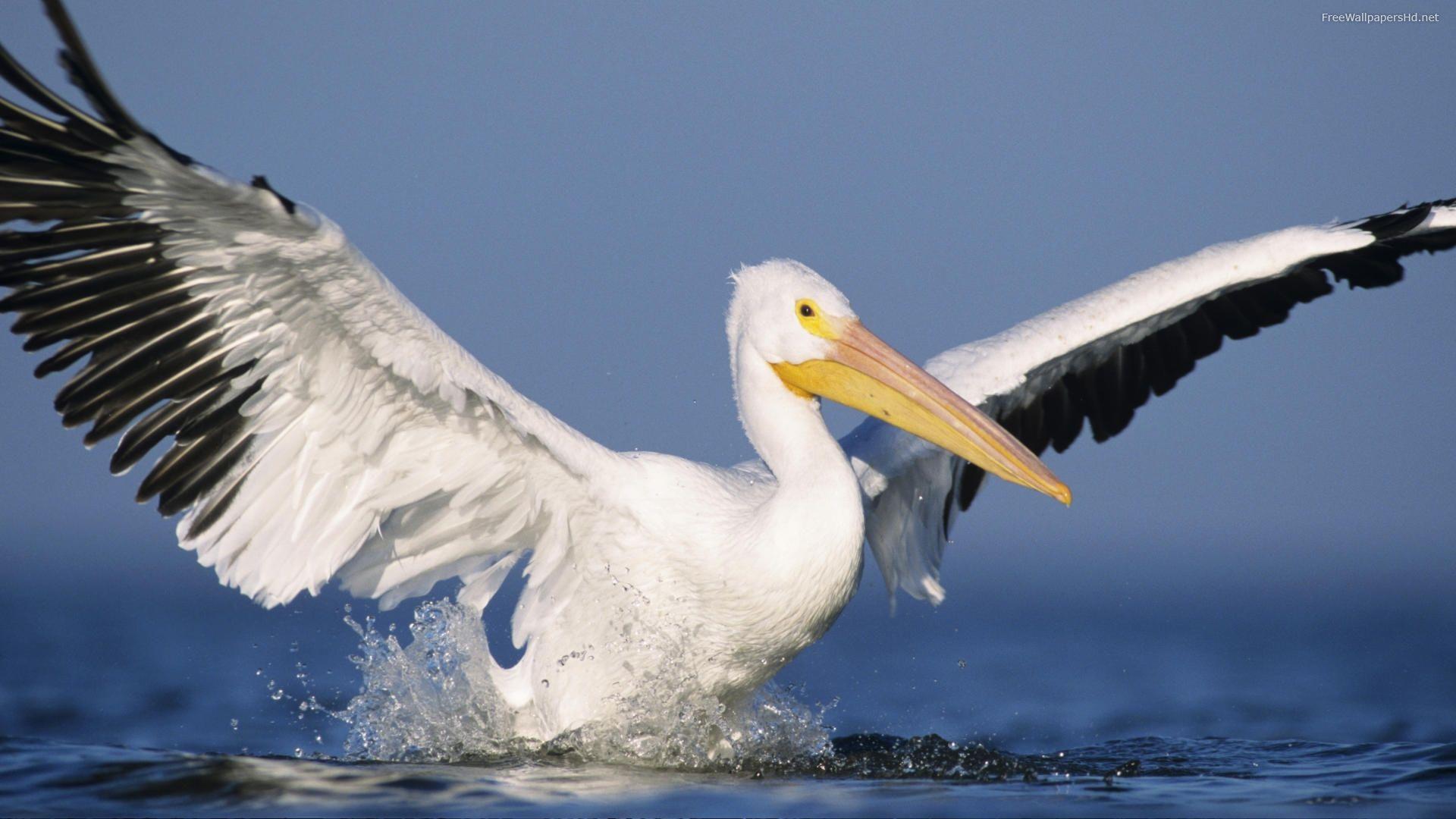 Pelican High Quality
