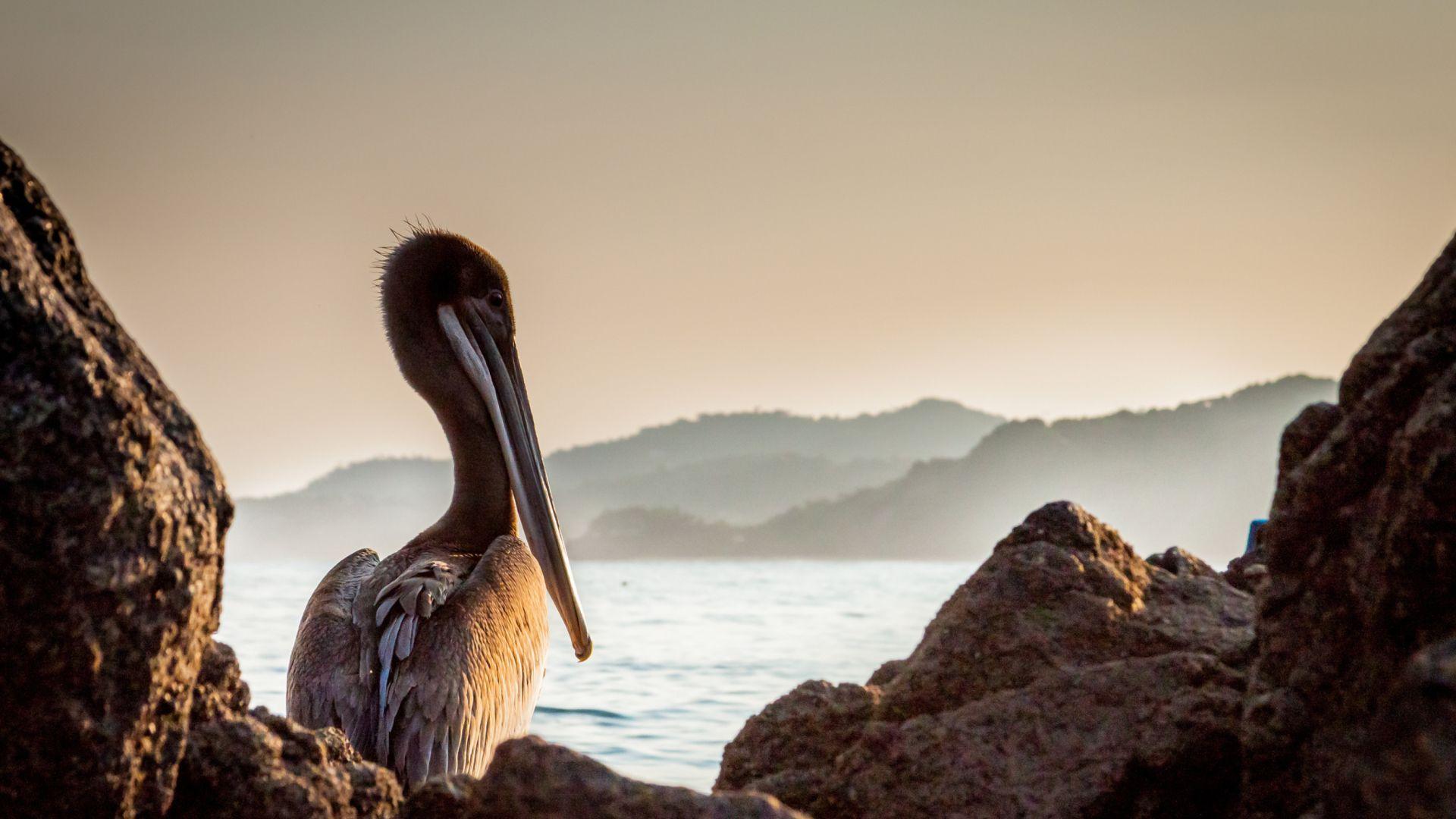 Pelican wallpaper photo full hd