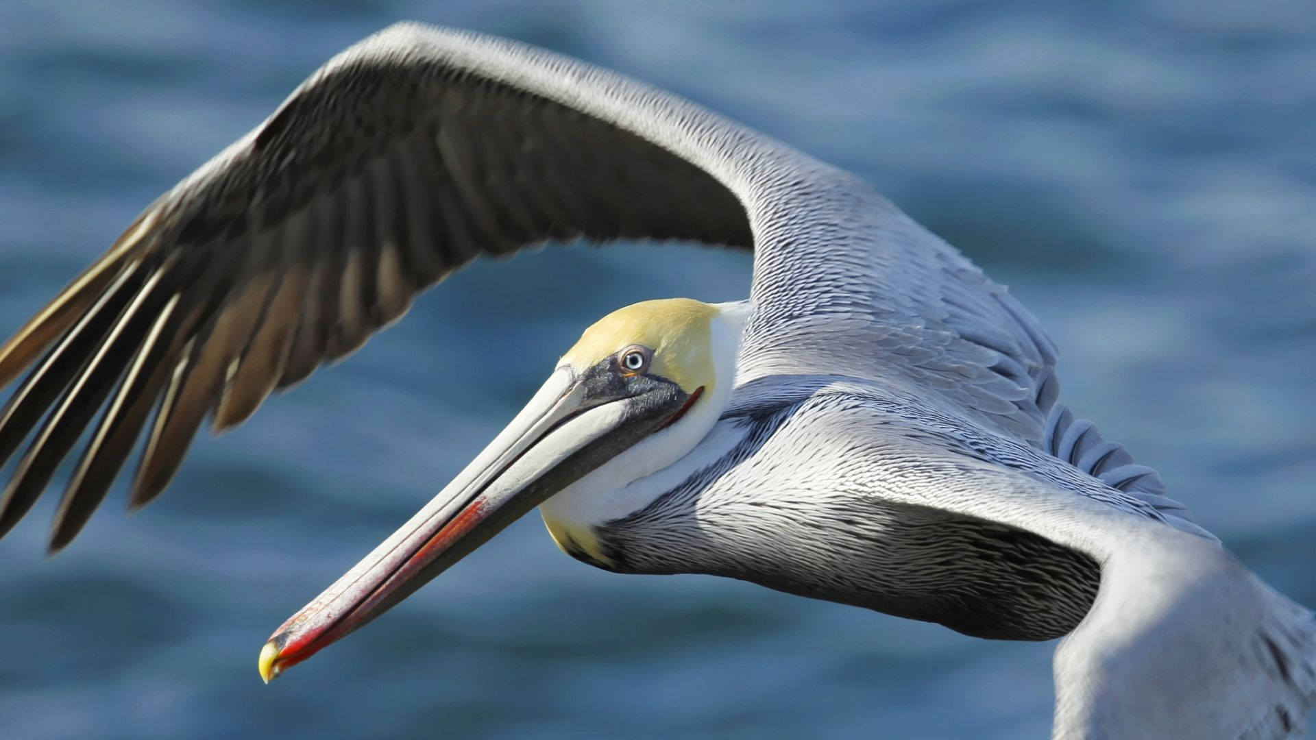 Pelican hd wallpaper 1080