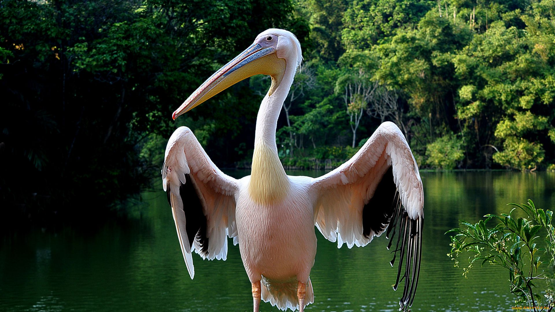 Pelican Cool HD Wallpaper