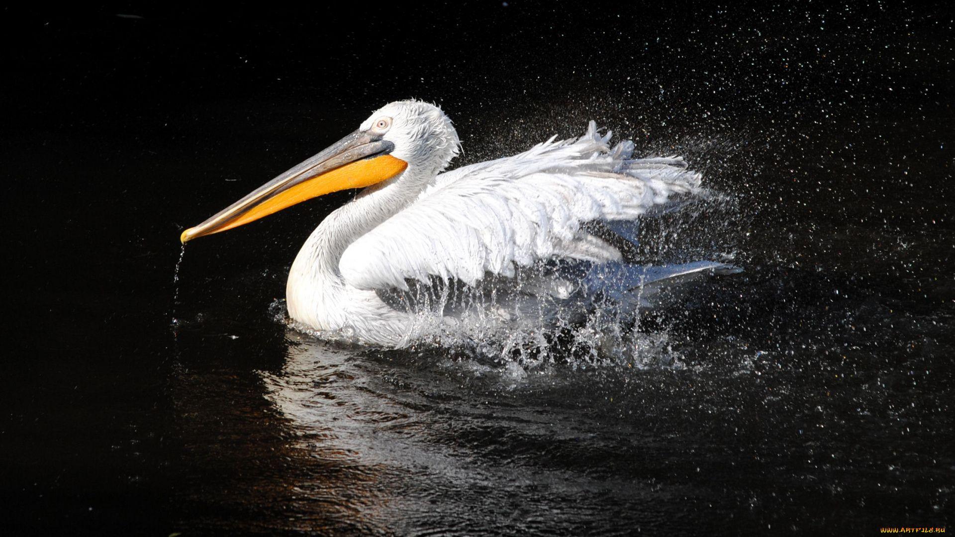 Pelican Desktop Wallpaper