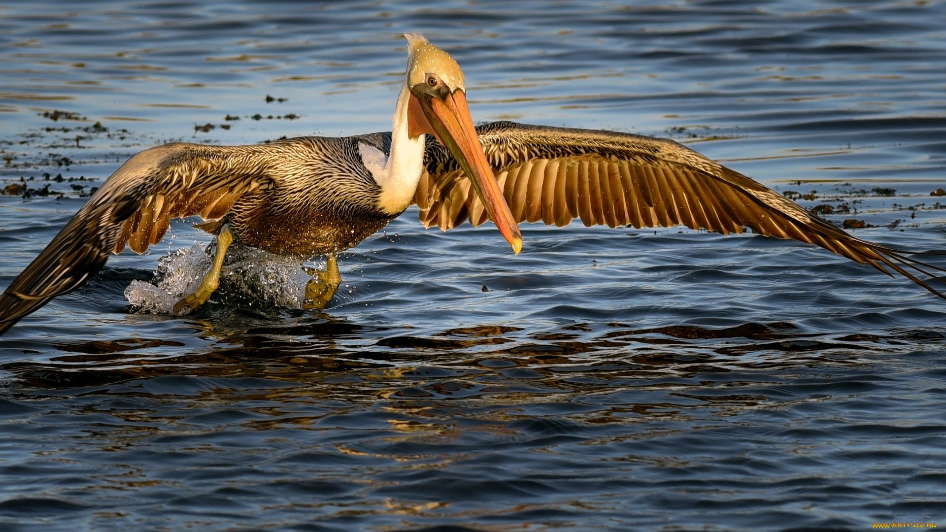 Pelican beautiful wallpaper
