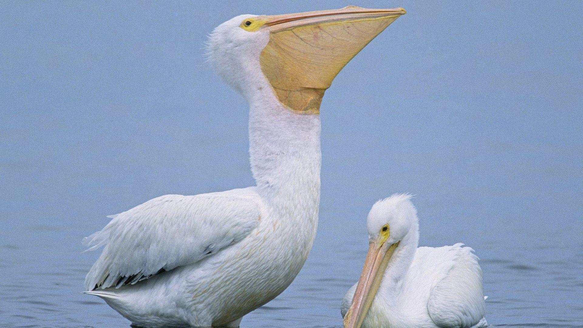 Pelican Good Wallpaper