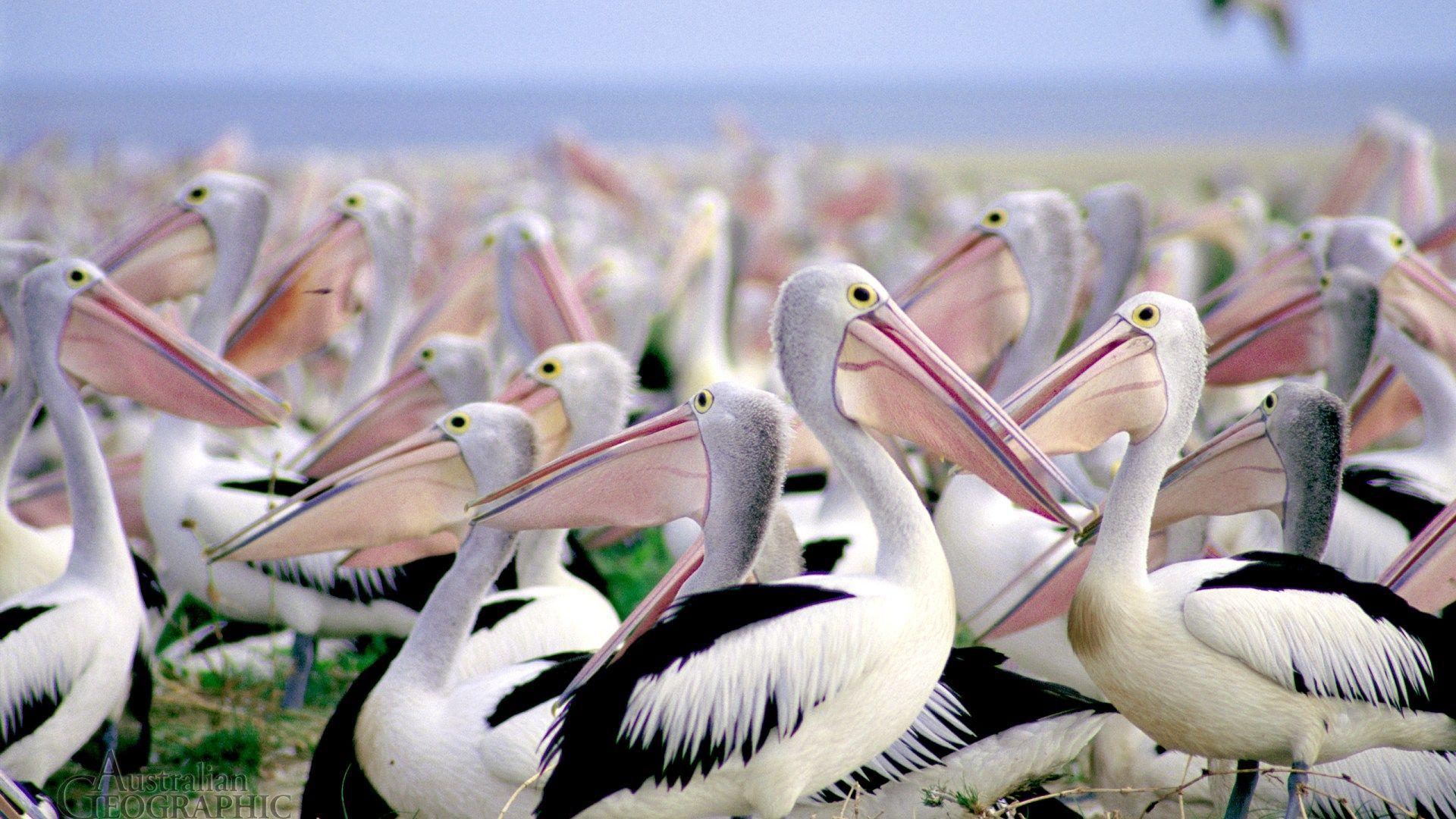 Pelican Free Desktop Wallpaper