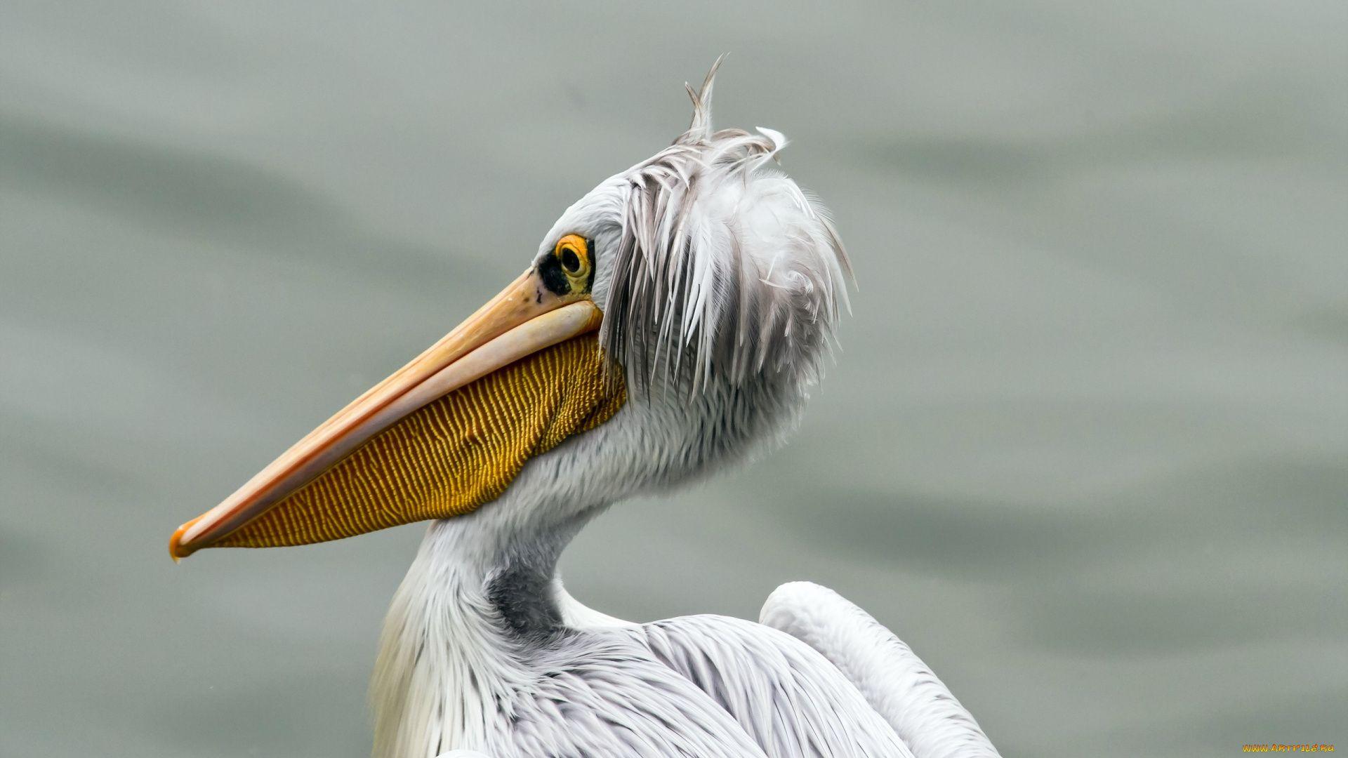 Pelican download nice wallpaper