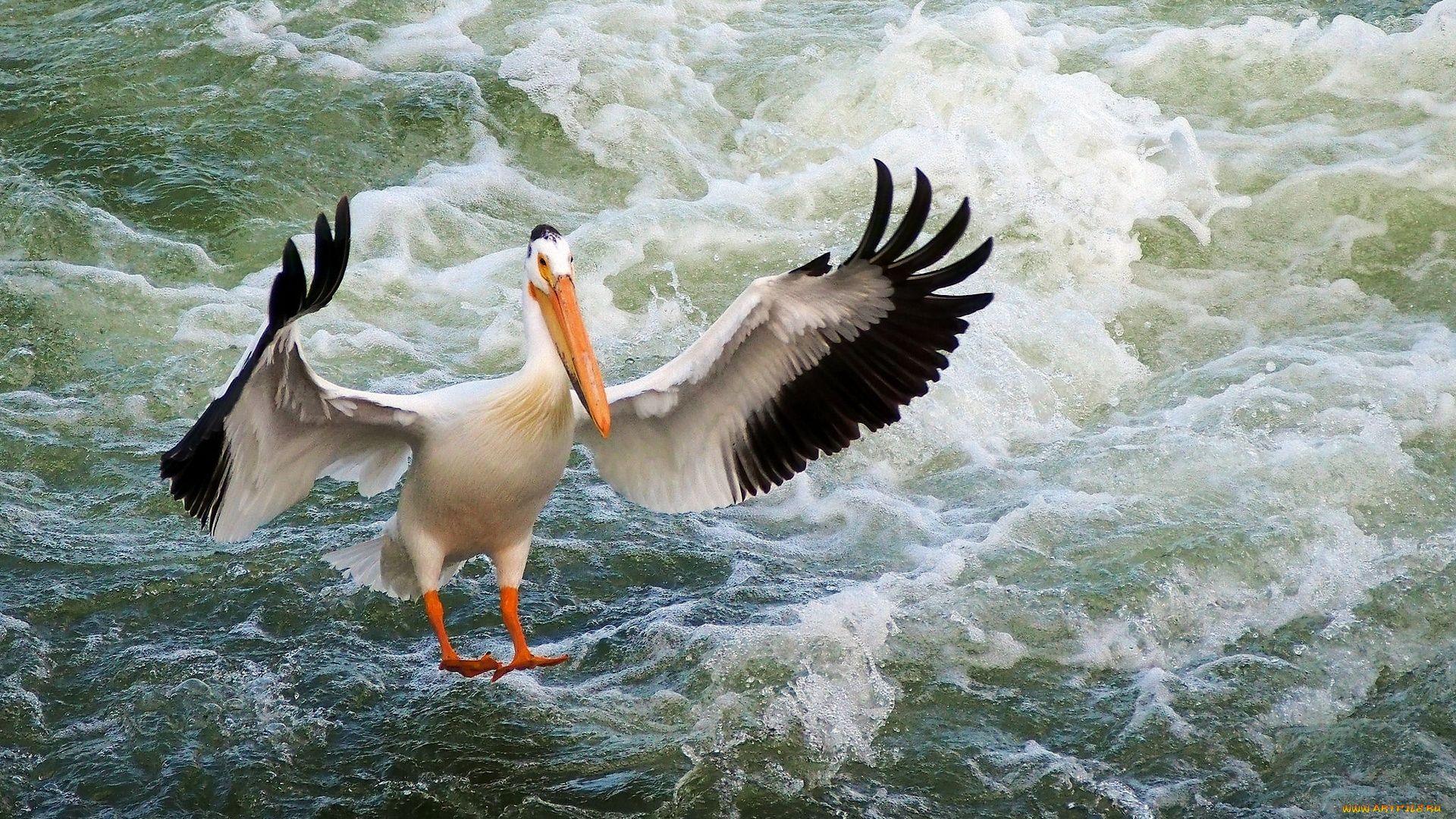 Pelican download wallpaper image