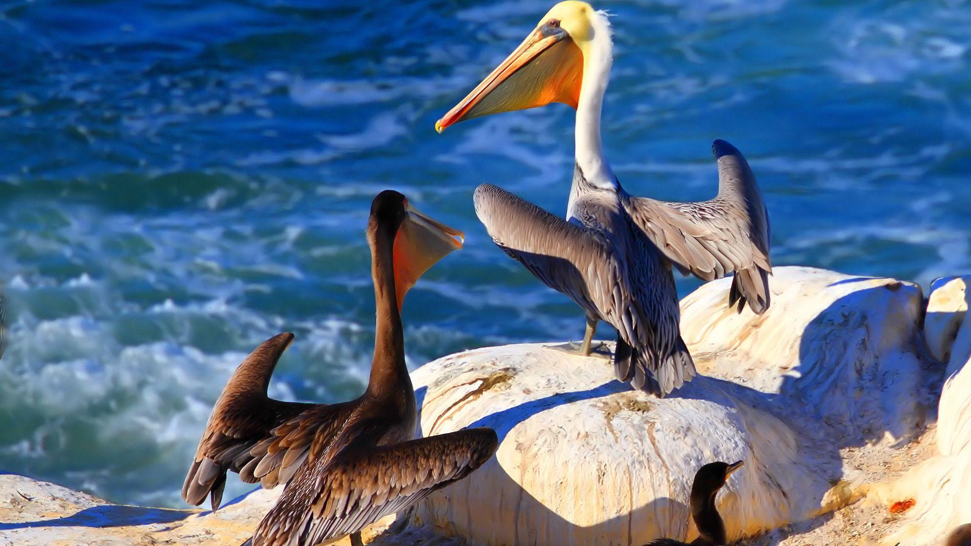 Pelican new wallpaper