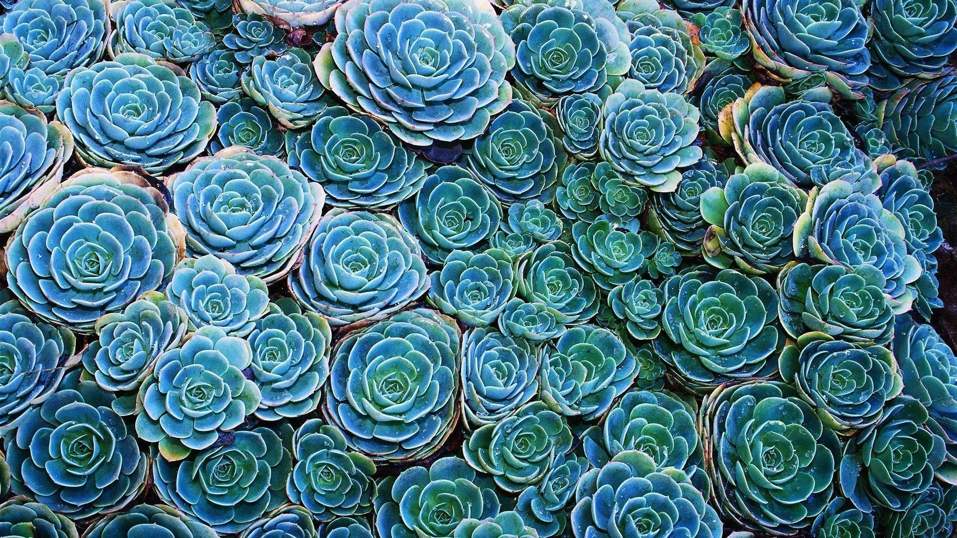 Succulent Free Wallpaper