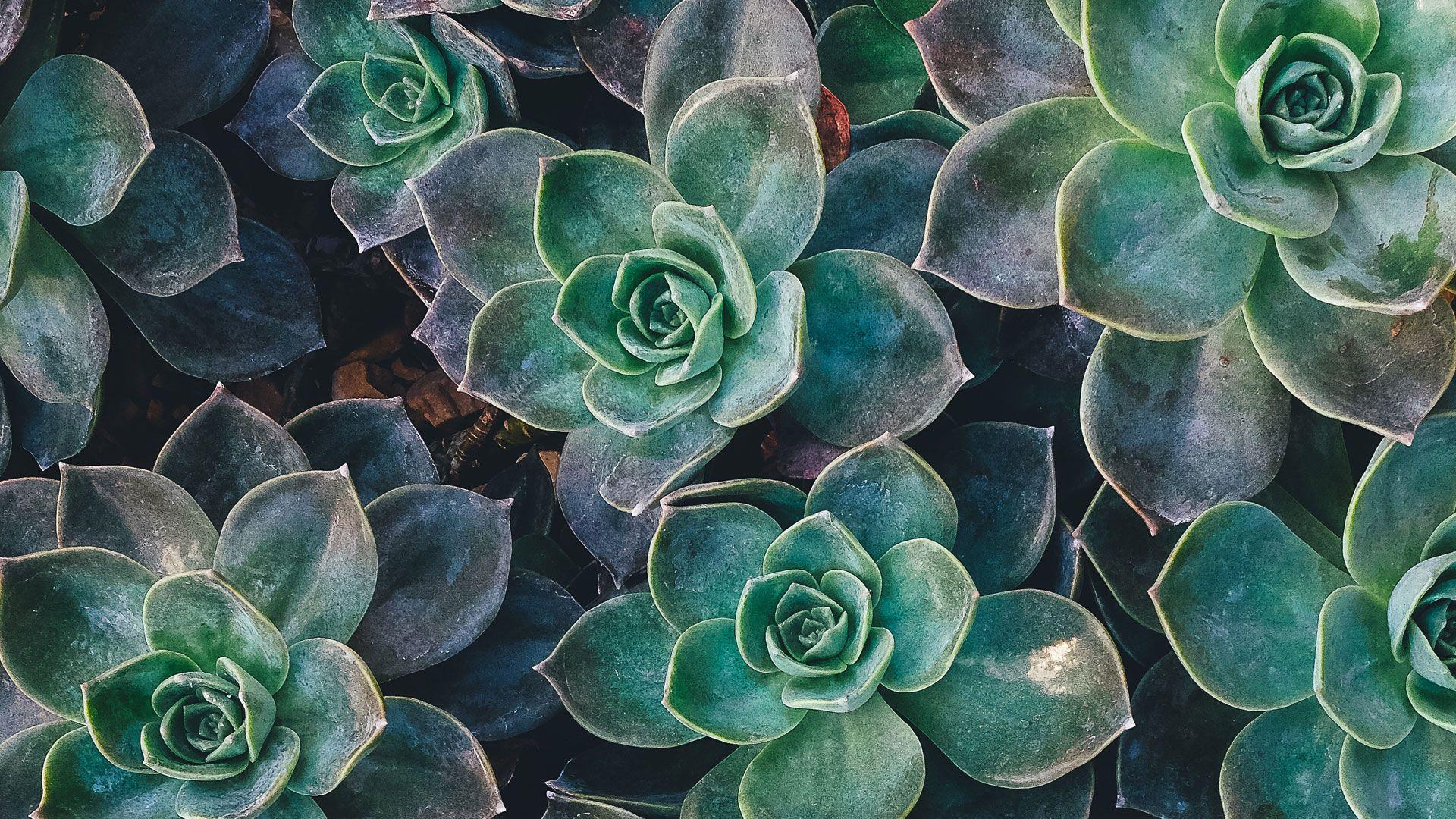 Succulent hd wallpaper download