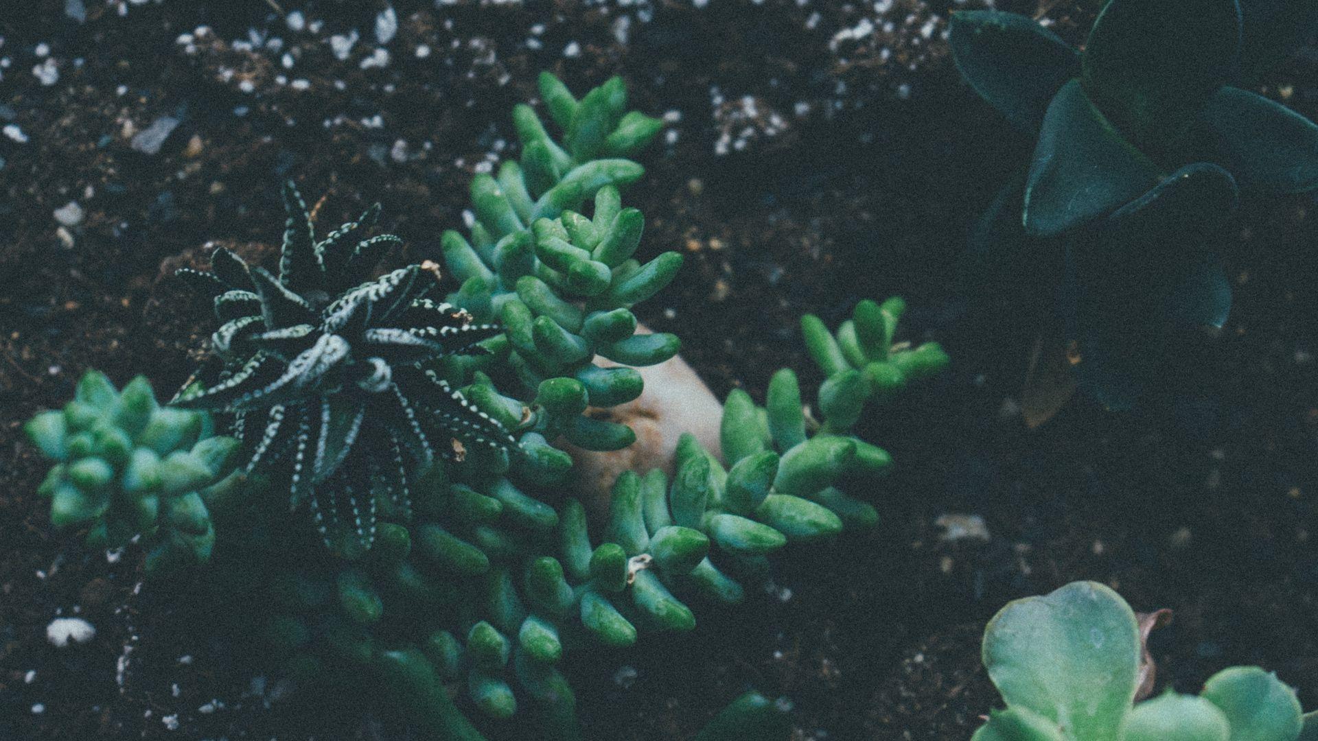Succulent Free Desktop Wallpaper