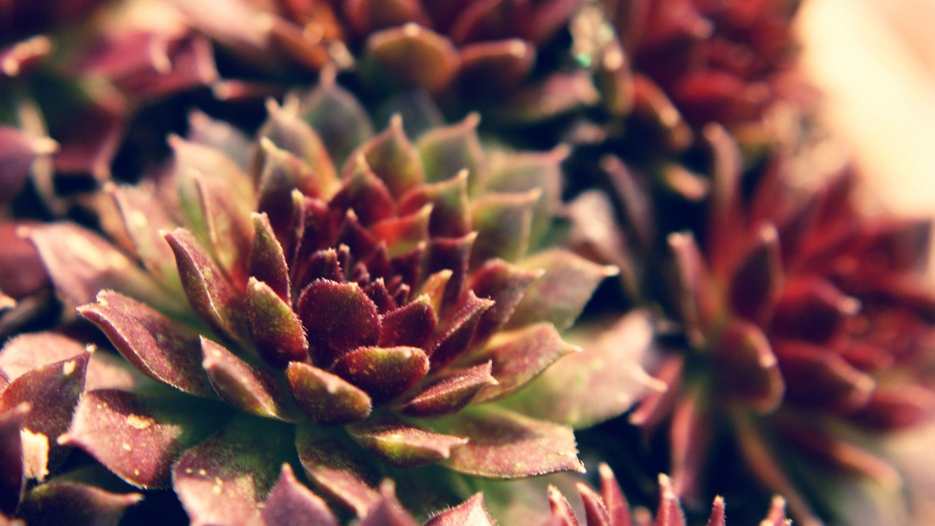 Succulent Wallpaper and Background