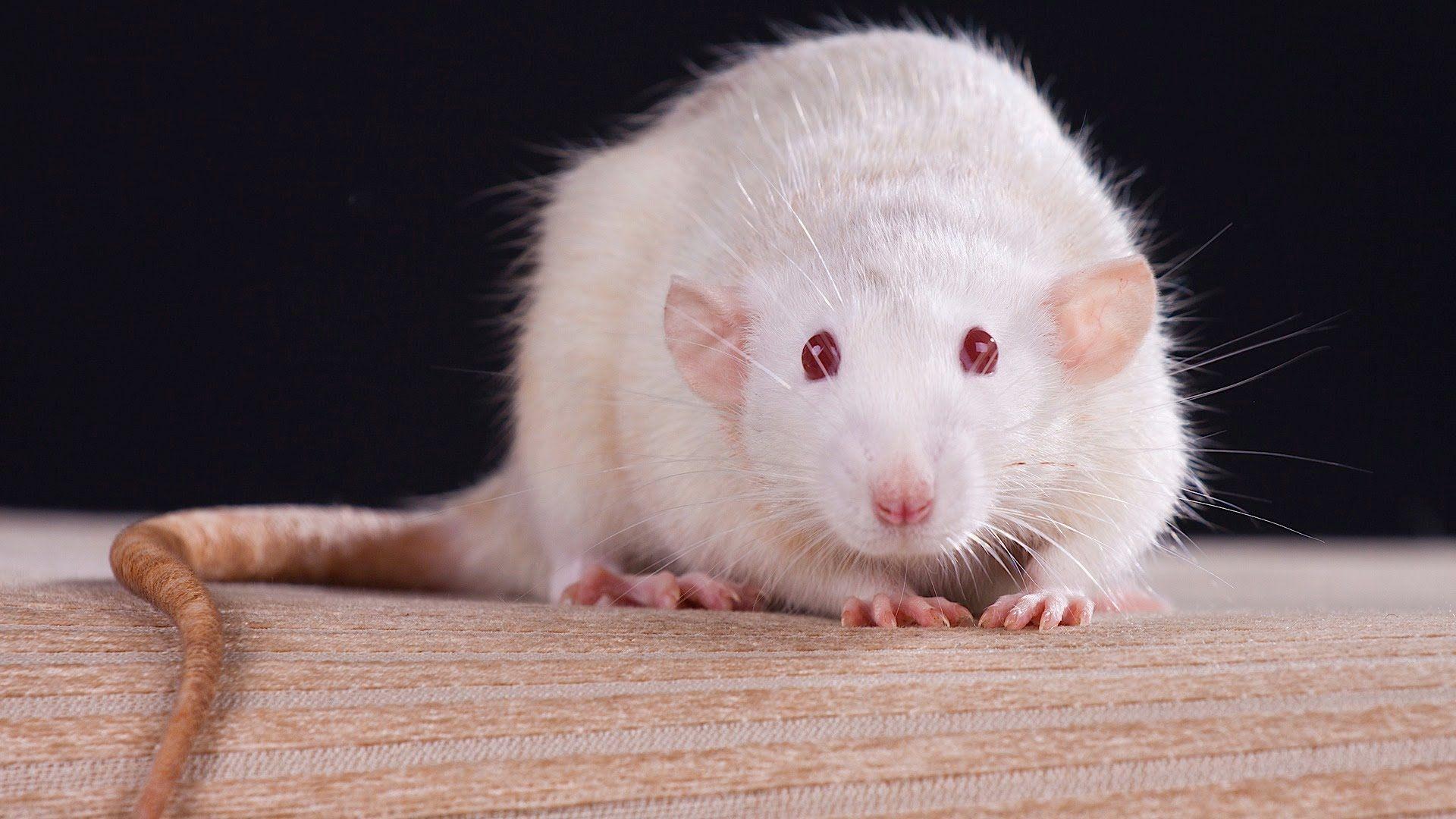 White Metal Rat download free wallpaper image search
