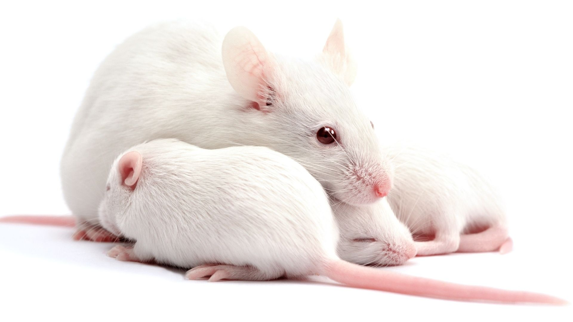 White Metal Rat Wallpaper Picture