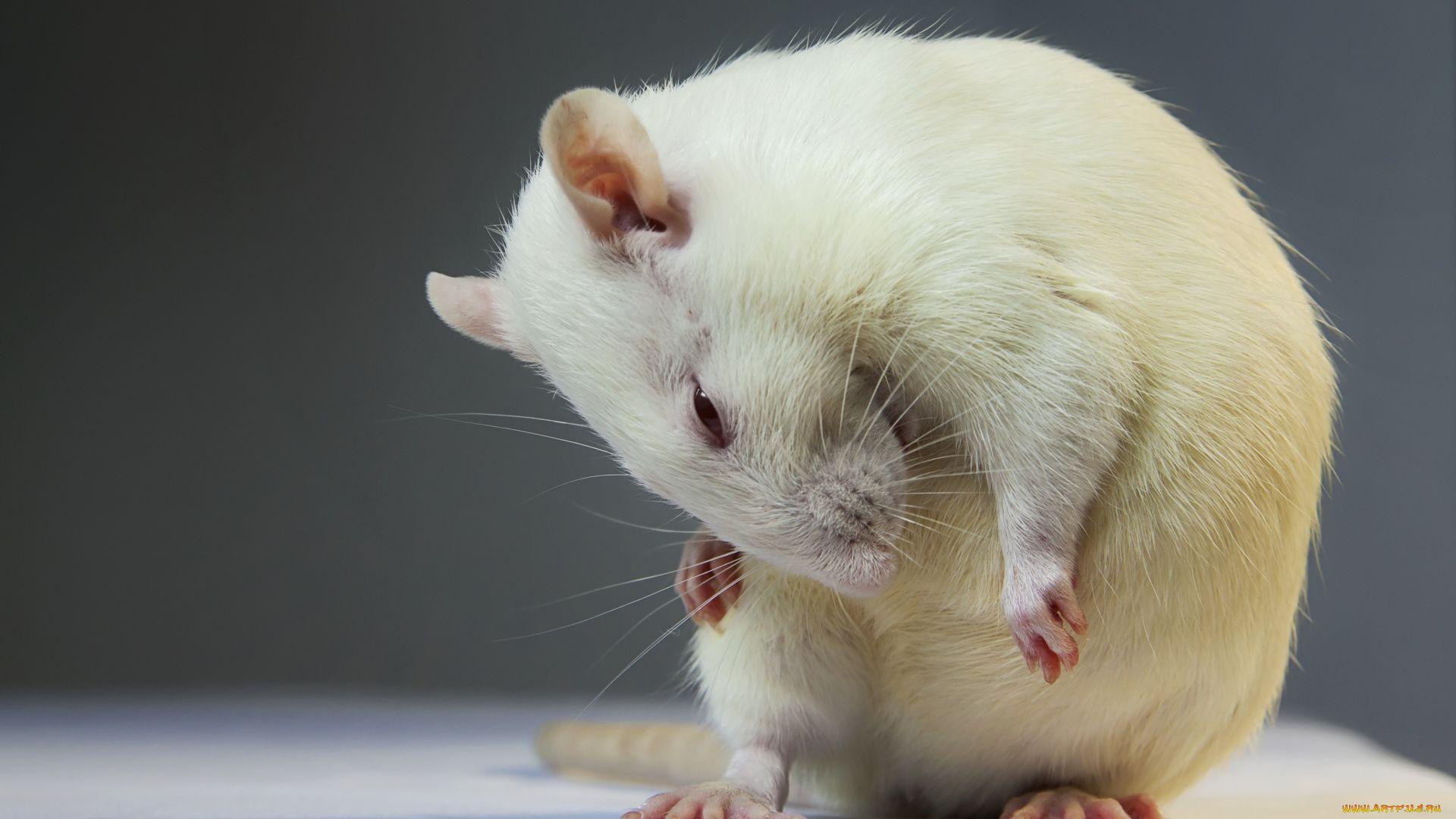 White Metal Rat Free Download Wallpaper