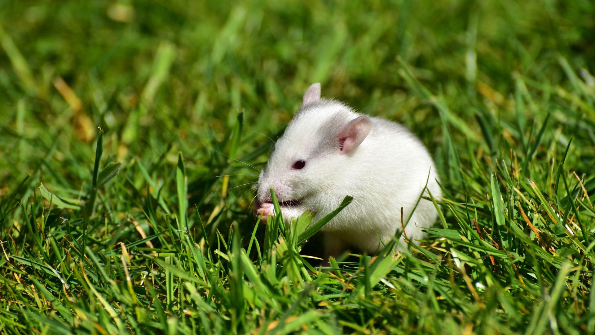 White Metal Rat full hd 1080p wallpaper