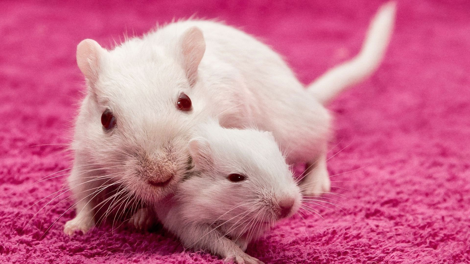 White Metal Rat free hd wallpaper