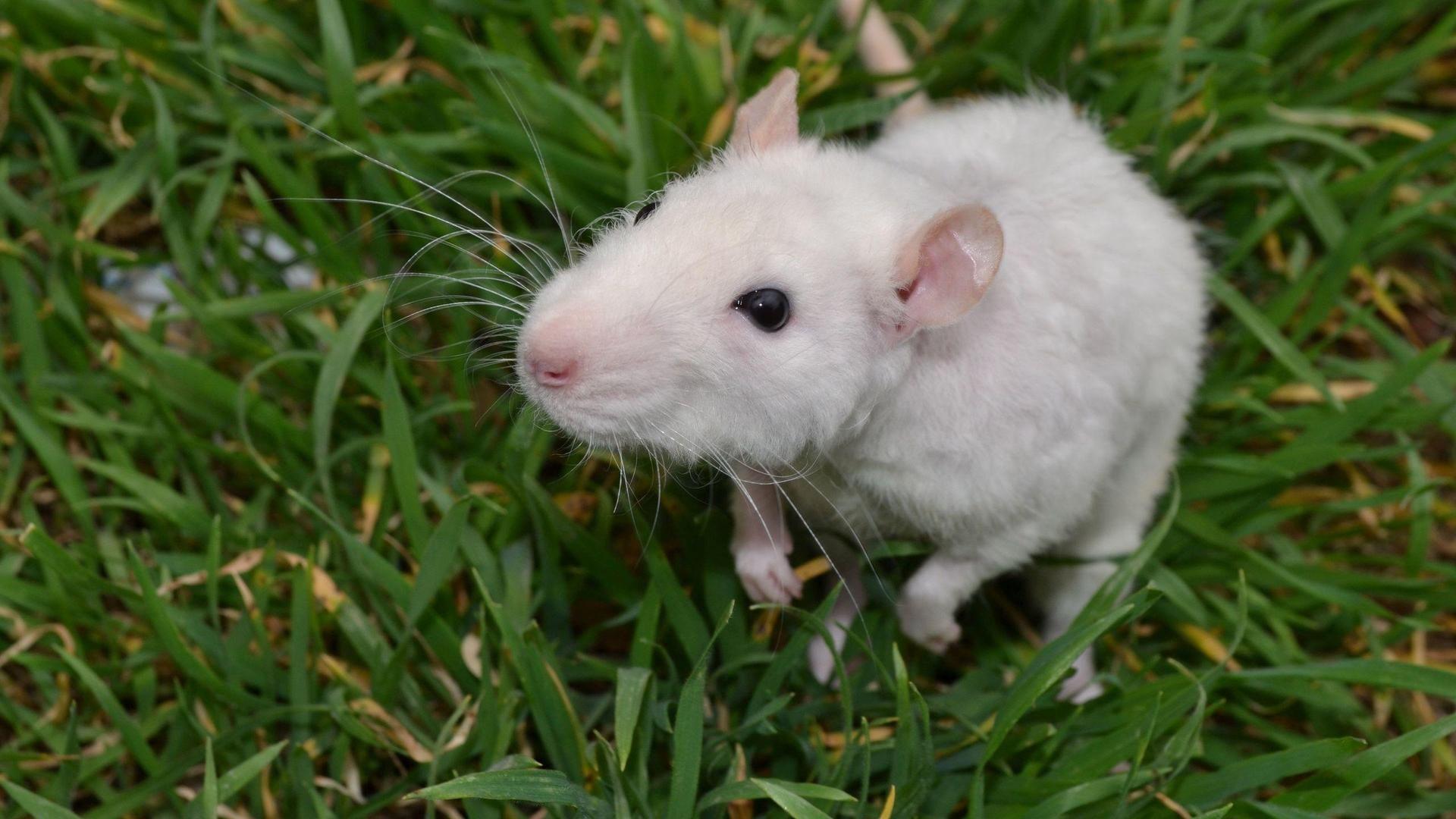 White Metal Rat Wallpaper