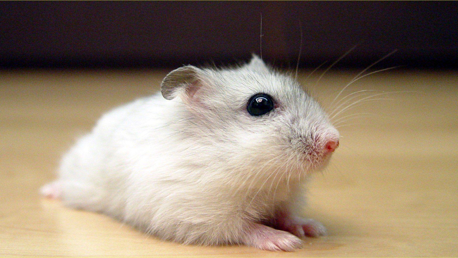 White Metal Rat wallpaper image