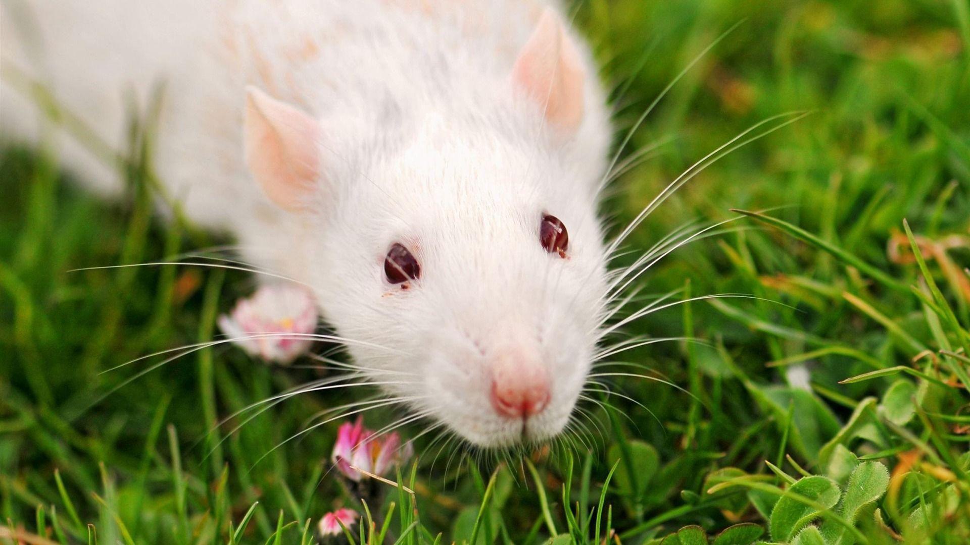 White Metal Rat Image