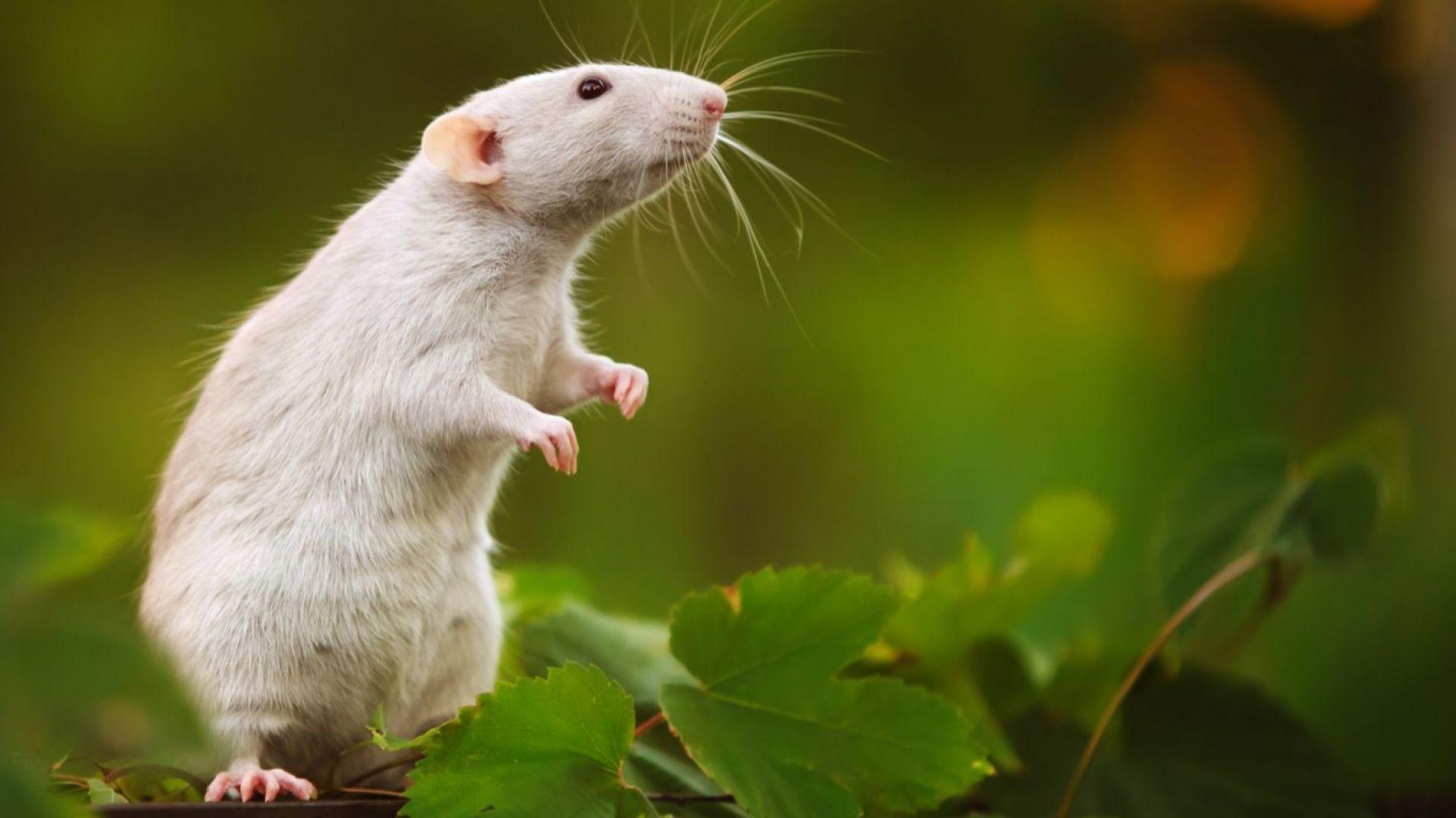 White Metal Rat computer wallpaper