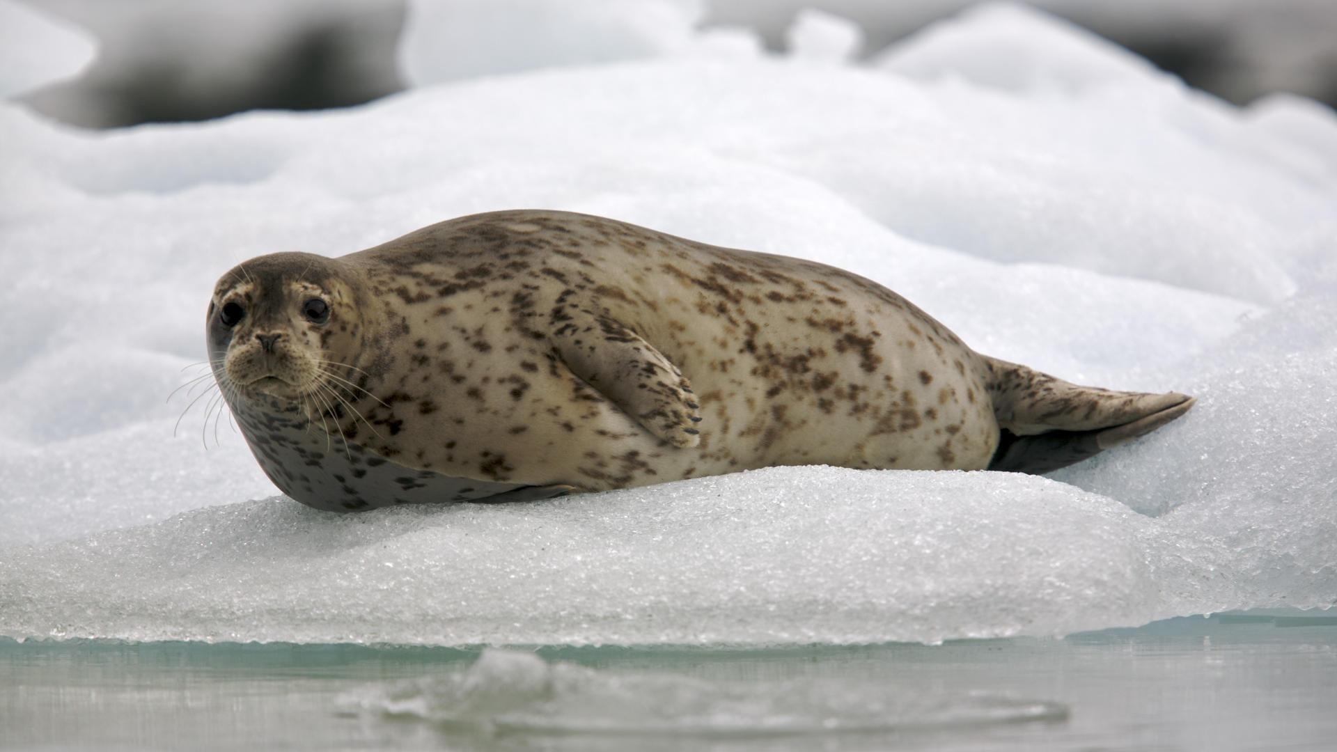 Seal full wallpaper