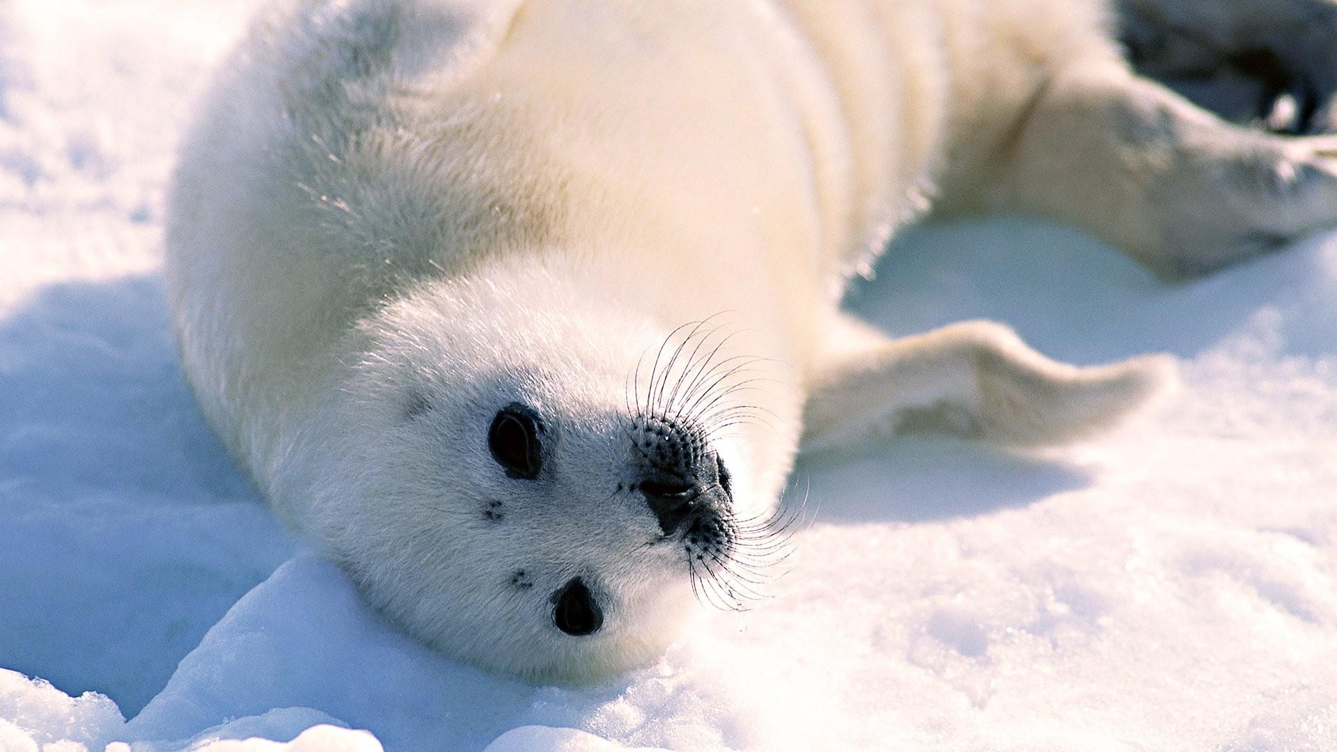 Seal free hd wallpaper
