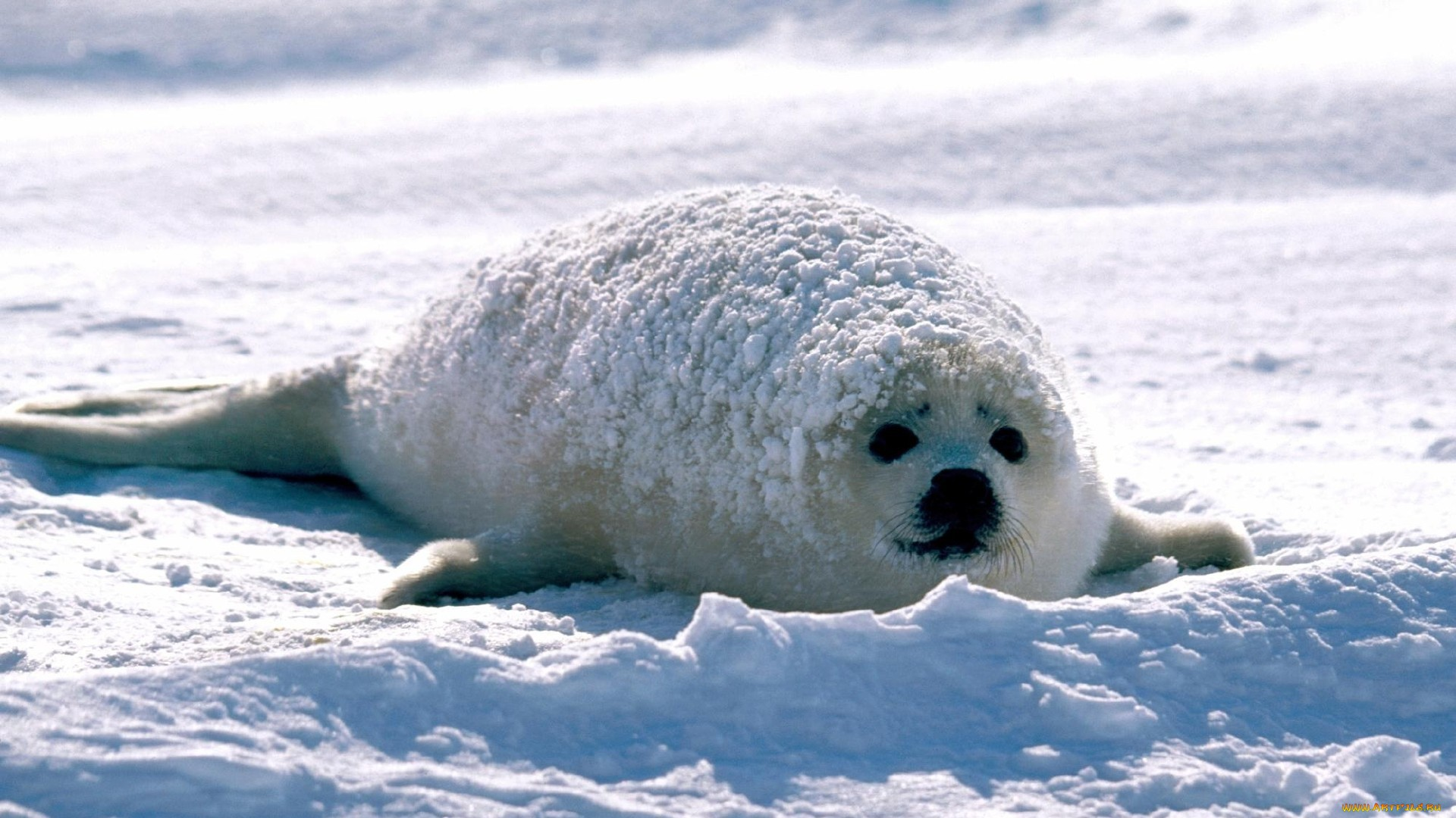 Seal wallpaper photo