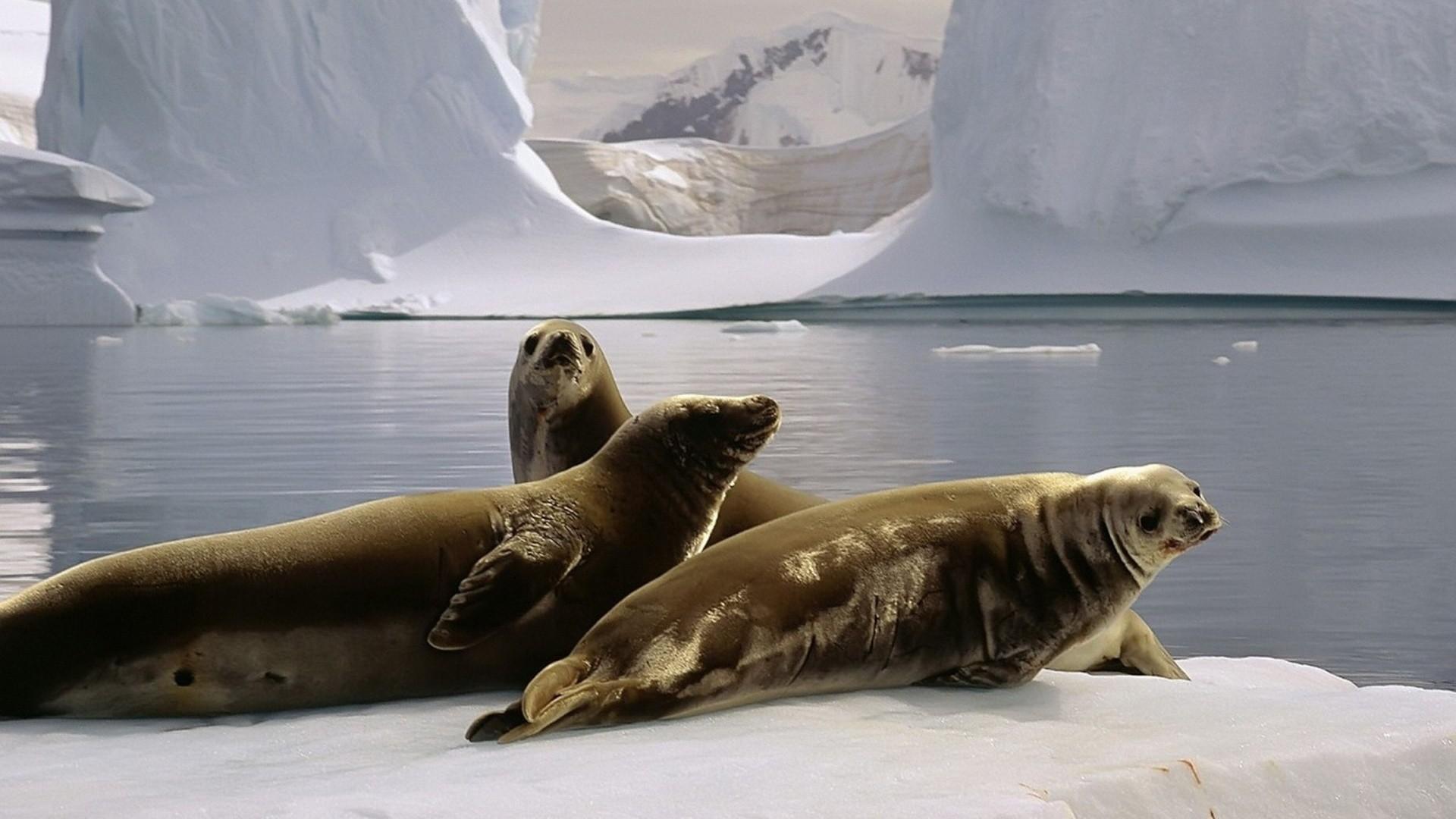 Seal pc wallpaper