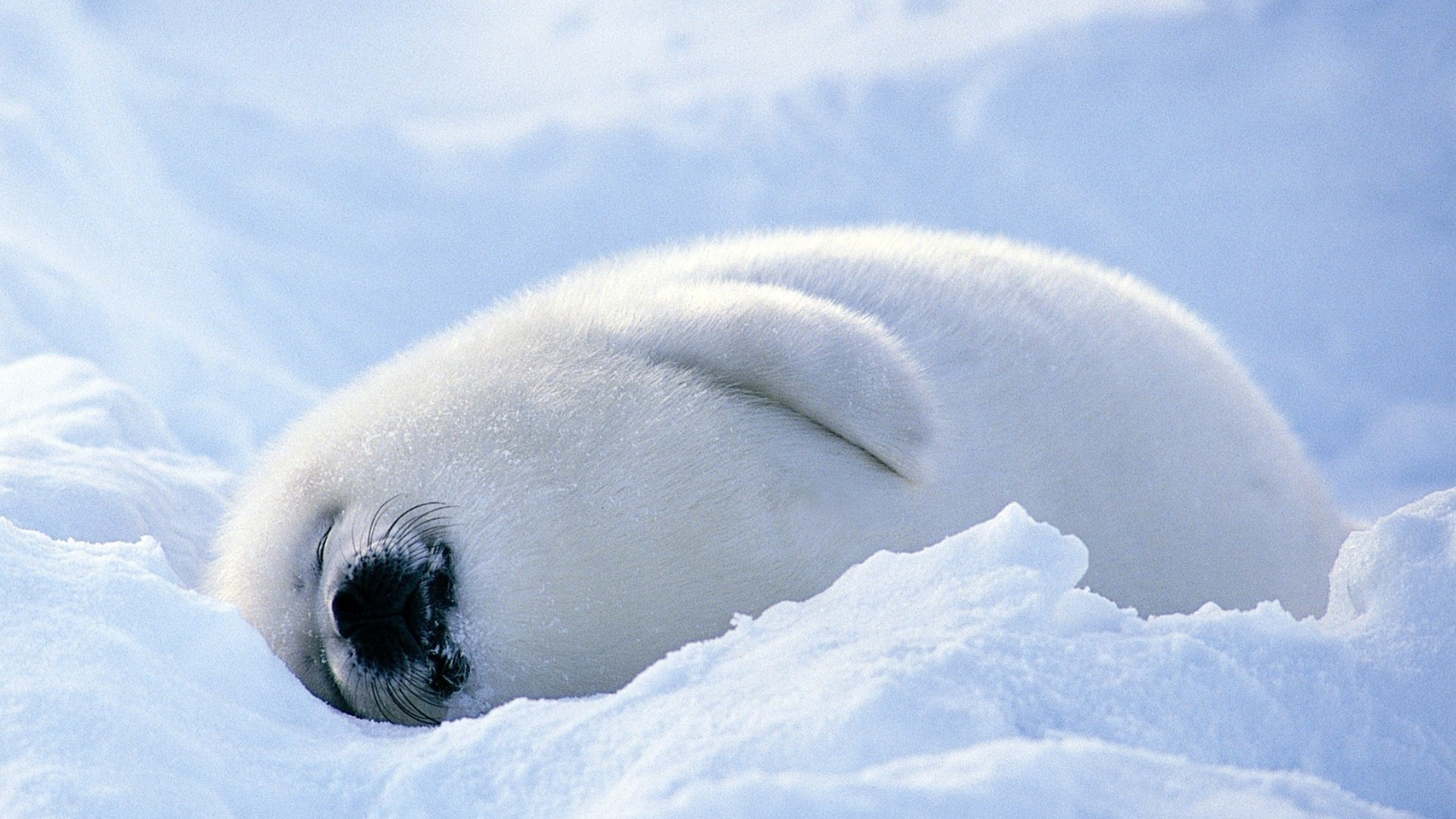 Seal wallpaper picture hd
