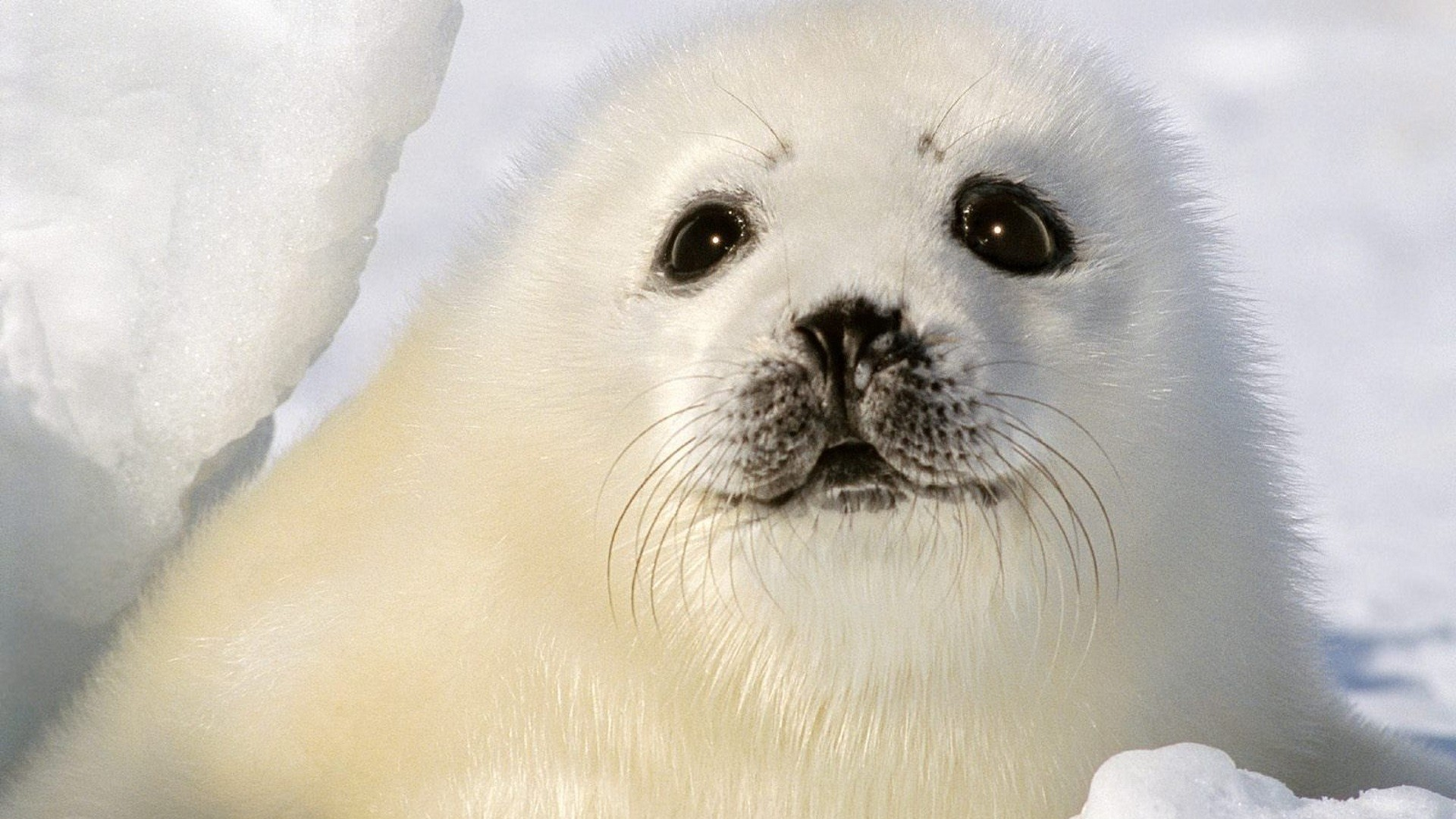 Seal HD 1080 wallpaper