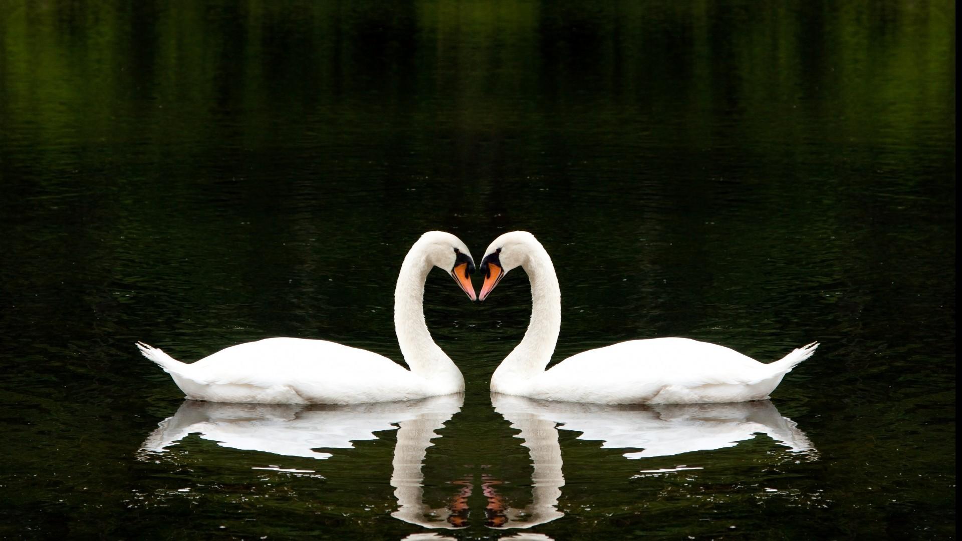 Swan hd wallpaper 1080p for pc